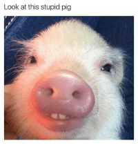 I dare you to look at this buck toothed pig for more than 3 seconds without laughing: Look at this stupid pig I dare you to look at this buck toothed pig for more than 3 seconds without laughing