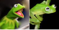 LOOK: This new species of frog that was discovered in Costa Rica looks just like Kermit the Frog: http://cbsn.ws/1DuXzWv: LOOK: This new species of frog that was discovered in Costa Rica looks just like Kermit the Frog: http://cbsn.ws/1DuXzWv