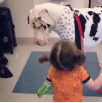 Memes, 🤖, and Her: Look @ this service dog comforting and playing with her ♥️ and eating her bubbles lolol 📹 @kernelthegreatdane