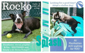 Animals, Cats, and Children: Looking for a good time?  Adopt a shelter dog!  Rocko  63563 6  years old.  57 lbs  Pash  At  Manhattan  ACC waiting  for YOU!  Handsome, social, playful  & fun - NEUTERED and  Ready 2 Go Home Today!! TO BE KILLED - June 11, 2019  Rocko was brought in by the police as a stray. No one has picked him up so here he sits on death row, and he will die soon if no one offers to give him a good home. This should never be the fate of any dog. Especially one as handsome, playful and fun-loving as six year old Rocko. He's middle aged and still ready to party and have a good time. If you've got room in your home and in your heart for an abandoned boy named Rocko please don't procrastinate or assume someone else will make that first move. You have to be the one to step up and help Rocko secure that freedom ride and, most of all, that happily ever after. That's the dream for every shelter dog.  A shelter member writes - Rocko is an expert lemonade maker. Brought to the shelter by police (lemon), Rocko was quick to make friends with staff. He has enjoyed his time outside playing fetch and showing off how well he knows commands. Now sick with CIRDC (lemon), Rocko continues impress staff with his smiles and happy dance moves. Summer is the perfect time for lemonade, so why not share your time with a pup that knows how to enjoy the sour things in life.  ROCKO@MANHATTAN ACC Hello, my name is Rocko My animal id is #63563 I am a desexed male black dog at the  Manhattan Animal Care Center The shelter thinks I am about 6 years old, 57 lbs Came into shelter as a stray May 21, 2019  Rocko is at risk for medical reasons. Rocko was diagnosed with canine infectious respiratory disease complex which is contagious to other animals and will require in home care. Behaviorally, Rocko is a young, enthusiastic, social dog who will need daily mental and physical activity to keep him engaged and exercised.  My medical notes are... Weight: 57.2 lbs Vet Notes L V T Notes 23/0