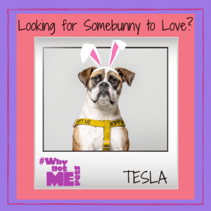 Are you looking for Somebunny to Love? Hi, I'm Tesla and I'd like more than anything to be that Somebunny for you!  I'm such a fun Boxer mix pup- I love belly rubs, tug toys, wrestling, playing with doggy pals, and super snuggle sessions! I'd be a great family dog where there's plenty of time for play, exercise, and adventure- and I can live with most other dogs, cats, and kids. I'm still a youngin' (just a tad over 1) and always learning, but can't wait to master more tricks and commands with my new people!  Something you should know about me- I was born with a nerve issue that causes incontinence, so I need a family that doesn't mind offering a little extra care. The rescue can tell you everything you need to know so we can have a successful, wonderful life together! Did I mention how snuggly and sweet I am? Find out more about me by contacting Emerald City Pet Rescue where I'm currently being cared for while I await my furever home! #WhynotTesla #adopt #sharingiscaring  #WhynotMEpets Dirtie Dog Photography Pet Connection Magazine Healthy Paws Pet Insurance: Looking for Somebunny to Love?  PT ME  OPT  #why  TESLA Are you looking for Somebunny to Love? Hi, I'm Tesla and I'd like more than anything to be that Somebunny for you!  I'm such a fun Boxer mix pup- I love belly rubs, tug toys, wrestling, playing with doggy pals, and super snuggle sessions! I'd be a great family dog where there's plenty of time for play, exercise, and adventure- and I can live with most other dogs, cats, and kids. I'm still a youngin' (just a tad over 1) and always learning, but can't wait to master more tricks and commands with my new people!  Something you should know about me- I was born with a nerve issue that causes incontinence, so I need a family that doesn't mind offering a little extra care. The rescue can tell you everything you need to know so we can have a successful, wonderful life together! Did I mention how snuggly and sweet I am? Find out more about me by contacting Emerald City Pet Rescue where I'm currently being cared for while I await my furever home! #WhynotTesla #adopt #sharingiscaring  #WhynotMEpets Dirtie Dog Photography Pet Connection Magazine Healthy Paws Pet Insurance