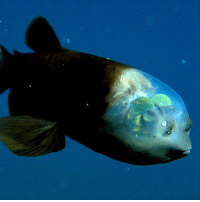 Memes, Predator, and Silhouette: Looks like someone's having a rough day. It probably isn't easy having a completely translucent head, but the barreleye fish makes it work. This deep-sea fish lives between the mesopelagic and bathypelagic zones in the Atlantic, Pacific, and Indian Oceans. Named for their barrel-shaped eyes, they spend most of their time looking upwards, hoping to detect movement from possible prey. The barreleye fish lives a solitary existence (which explains the long face in the photo) and stays hidden from predators by using counterillumination to visually break up their silhouettes in the water. Photo cred: TorinoGT via alphacoders.com