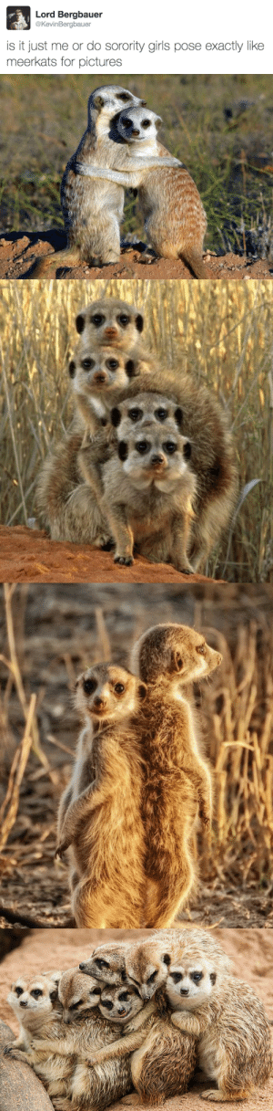 tastefullyoffensive:  (via KevinBergbauer): Lord Bergbauer  @KevinBergbauer  is it just me or do sorority girls pose exactly like  meerkats for pictures tastefullyoffensive:  (via KevinBergbauer)
