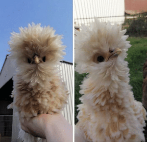 Lorraine the fluffy chicken's glow up! (via): Lorraine the fluffy chicken's glow up! (via)