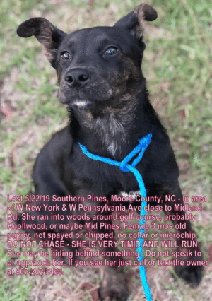 Memes, New York, and Run: Lost 5/22/19 Southern Pines, Moore County, NC lm area  of W New York & W Pennsylvania Ave close to Midland  Rd. She ran into woods around golf course, probably  Knollwood, or maybe Mid Pines. Female 3 mos old  puppy, not spayed or chipped, no collar or microchip.  DO NOT CHASE - SHE IS VERY TIMID AND WILL RUN.  She may be hiding behind something. Do not speak to  or appraoch her. If you see her just call or text the owner  at 907-202-2433. STILL MISSING!
