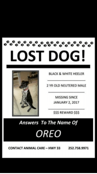 Memes, Lost, and Animal: LOST DOG!  BLACK & WHITE HEELER  2 YR OLD NEUTERED MALE  MISSING SINCE  JANUARY 2, 2017  $$$ REWARD $$$  Answers To The Name Of  OREO  CONTACT ANIMAL CARE-HWY 33  252.758.9971 GREENVILLE, NC-- STILL MISSING!