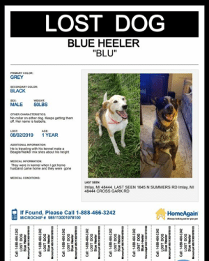 """**MISSING IN IMLAY CITY, MI**: LOST DOG  BLUE HEELER  """"BLU""""  PRIMARY COLOR:  GREY  SECONDARY COLOR:  BLACK  WEIGHT  SEX:  MALE  50LBS  OTHER CHARACTERISTICS  No collar on either dog. Keeps getting them  off. Her name is Isabeila.  AGE  1 YEAR  LOST  08/02/2019  ADDITIONAL INFORMATION:  He is traveling with his kennel mate a  BeagleWalker mix shes about his height  MEDICAL INFORMATION:  They were in kennel when I got home  husband came home and they were gone  MEDICAL CONDITONS  LAST SEEN  Imlay, MI 48444. LAST SEEN 1645 N SUMMERS RD Imlay, MI  48444 CROSS GARK RD  If Found, Please Call 1-888-466-3242  MICROCHIP # 985113001978100  HomeAgain  Always leeking out for your pet  1-888-466-3242  JaaHeng  oo186100uS96 adpao  1-888-466-3242  LOST DOG  00186100Cs edupo  1-888-466-3242  LOST DOG  00186100Cu6 edspoo **MISSING IN IMLAY CITY, MI**"""