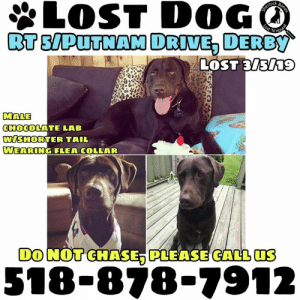 Memes, Lost, and Chase: LOST DOG  ock  MALE  CHOCOLATE L B  WISHORTER TAIL  EARİNG FLEA COLLAR  DO NOT CHASE, PLEASE CALL US  518-878-7912 Sarah Nomiddlename