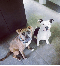 """Dogs, Memes, and Lost: Lost Dogs Hannacroix....99 Route 144 in Hannacroix ( New Baltimore ) near intersection of 9w and Route 144 . I  Please spread the word.  Please help. We lost our 2 dogs, """"""""t"""""""" and """"""""indi"""""""" at 7p on Wed. Sep 13th from our property at 99 Route 144 in Hannacroix ( New Baltimore ) near intersection of 9w and Route 144 . I am posting pic. Please contact me if you see them. 347.267.9563  thank you Max"""