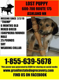 "Facebook, Memes, and News: LOST PUPPY  600-700 ROUTE 175  ASHLAND NH  Granite State  Dog Recovery  MISSING SINCE 2/2/19  ""TRUMP""  6 MONTHS OLD  MIXED BREED  [SHEPHERD/HOUND  MALE  25 POUNDS  SHY  WEARING COLLAR  1-855-639-5678  This poster was generated by GSDR for sharing on social media  www.granitestatedogrecovery.com  FIND US ON FACEBOOK Update: 02/05/2019 Great news to share this morning.  Trump found his way home and is safe. Welcome home Trump ."