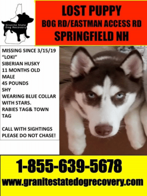"Memes, Lost, and Access: LOST PUPPY  BOG RD/EASTMAN ACCESS RD  SPRINGFIELD NH  Granite State  Dog Recovery  MISSING SINCE 3/15/19  ""LOKI""  SIBERIAN HUSKY  11 MONTHS OLD  MALE  45 POUNDS  SHY  WEARING BLUE COLLAR  WITH STARS  RABIES TAG& TOWN  TAG  CALL WITH SIGHTINGS  PLEASE DO NOT CHASE!  1-855-639-5678  www.granitestatedogrecovery.com Update 03/17/2019 Loki is home safe and sound ."