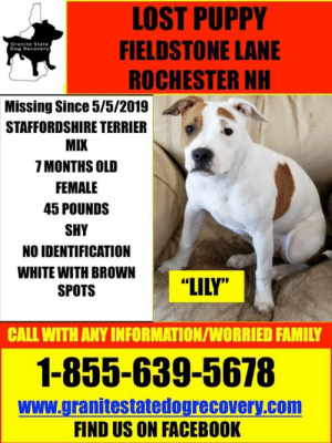 "Facebook, Family, and Memes: LOST PUPPY  FIELDSTONE LANE  ROCHESTER NH  Granite State  Dog Recovery  Missing Since 5/5/2019  STAFFORDSHIRE TERRIER  MIX  7 MONTHS OLD  FEMALE  45 POUNDS  SHY  NO IDENTIFICATION  WHITE WITH BROWN  SPOTS  ""LILY""  CALL WITH ANY INFORMATION/WORRIED FAMILY  1-855-639-5678  www.granitestatedogrecovery.com  FIND US ON FACEBOOK URGENT: Missing 7 month old female Staffordshire Terrier Mix from Fieldstone Lane/Eastern Ave in Rochester NH since 5/5/19. Lily is 45 pounds and on the shy side, if you see Lily you are asked to please call 1-855-639-5678. PLEASE DO NOT CHASE!"