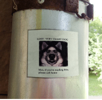 Funny, Lost, and Home: LOST: VERY SMART DOG  Max, if you're reading this,  please call home Funny Poster