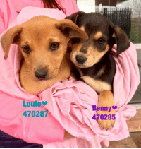 Email Placement@sanantoniopetsalive.org if you are interested in Adopting, Fostering, or Rescuing!  Our shelter is open from 11AM-7PM Mon -Fri, 11AM-5PM Sat and Sun.  Urgent Pets are at Animal Care Services/151 Campus. SAPA! is Only in Bldg 1 GO TO SAPA BLDG 1 & bring the Pet's ID! Address: 4710 Hwy. 151 San Antonio, Texas 78227 (Next Door to the San Antonio Food Bank on 151 Access Road)  **All Safe Dogs can be found in our Safe Album!** ---------------------------------------------------------------------------------------------------------- **SHORT TERM FOSTERS ARE NEEDED TO SAVE LIVES- email placement@sanantoniopetsalive.org if you are interested in being a temporary foster!!**: Louie  470287  Benny  470285 Email Placement@sanantoniopetsalive.org if you are interested in Adopting, Fostering, or Rescuing!  Our shelter is open from 11AM-7PM Mon -Fri, 11AM-5PM Sat and Sun.  Urgent Pets are at Animal Care Services/151 Campus. SAPA! is Only in Bldg 1 GO TO SAPA BLDG 1 & bring the Pet's ID! Address: 4710 Hwy. 151 San Antonio, Texas 78227 (Next Door to the San Antonio Food Bank on 151 Access Road)  **All Safe Dogs can be found in our Safe Album!** ---------------------------------------------------------------------------------------------------------- **SHORT TERM FOSTERS ARE NEEDED TO SAVE LIVES- email placement@sanantoniopetsalive.org if you are interested in being a temporary foster!!**