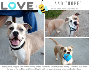 "Apparently, Apple, and Arguing: LOVE  .AND ""HOPE  d 67621 12 Mos, 43 Ibs, at Brooklyn ACC  Highly social, wiggly, soft and incredibly sweet, this LEVEL 1 rated puppy, barely 12 months old, loves  to lean in for cuddles and kisses. Playful with her peers in group, she's an absolute Gem! INTAKE DATE – 7/2/2019  Faith, Hope & Love, but we'd argue the greatest of these is HOPE. This incredibly sweet, LEVEL 1 rated girl is the apple of everyone's eye at the Brooklyn Center with her soft, wiggly, ways.  She loves to lean in for comfort, a cuddle and love, and she adores toys and playing with her peers.  Just a baby, barely a year old, Hope has every hope that someone will choose her to be an integral part of their perfect family.  With her kohl rimmed eyes so full of love and trust, how can you say no?  Hurry and message our page or email us at MustLoveDogsNYC@gmail.com for assistance fostering or adopting Hope.  HOPE, ID# 67621, 1 yr old, 43 lbs, Unaltered Female Brooklyn ACC, Medium Mixed Breed, Tan / White    Surrender Reason:  Found Stray  Shelter Assessment Rating: LEVEL 1 Medical Behavior Rating:  SHELTER ASSESSMENT SUMMARIES:  Leash Walking Strength and pulling: Moderate Reactivity to humans: None  Reactivity to dogs: None  Leash walking comments:  Sociability Loose in room (15-20 seconds): Highly social  Call over: Approaches readily Sociability comments:   Handling  Soft handling: Leans in, seeks contact, soft Exuberant handling: Leans in, seeks contact, soft Handling comments:  Arousal Jog: Follows, playful Arousal comments:   Knock Knock Comments: Loose, wiggly  Toy Toy comments: Firm grip, loose  PLAYGROUP NOTES - DOG TO DOG SUMMARIES:  Hope was surrender as a stray so her past behavior with other dogs is unknown.  6/30: When off leash at the Care Centers, Hope is introduced to a novel male dog. She greets the male with loose body and explores the pens and checks in with the male. She briefly flirts with the male and offers him play bows and bounces. Hope does self handicap (sits and hides her genitals) when the male licks her genitals.   7/1-7/2: Hope was introduced to a novel male today. She greets him with a loose body and engages in flirty chase play. She does spin and muzzle punch the male when he sniffs/licks her genitals persistently.  INTAKE BEHAVIOR: Date of intake: 29-Jun-2019 Summary: Friendly, allowed all handling  MEDICAL BEHAVIOR: Date of initial: 30-Jun-2019 Summary: Loose bodied initially though whale eyed and tail tucked during exam.  ENERGY LEVEL: Hope displays a high energy level in the care center, we recommend daily mental and physical stimulation as a way to direct her energy and enthusiasm.  BEHAVIOR DETERMINATION: Level 1 Behavior Asilomar H – Healthy  MEDICAL EXAM NOTES   2-Jul-2019 Pre-Op Exam.  H: Pre-op exam, going to Glendale tomorrow.  S: BARH. No csvd.  CRT: <2s. Gums: pink, moist.  Eyes: Grossly appropriate OU.  Ears: Unremarkable AU.  Nasal Cavity: No nasal discharge.   Lungs: Eupneic.  Abd: Soft, non-painful. No palpable masses. No organomegaly appreciated.  U/G: Normal external genitalia. No discharge.  Musculoskeletal: Ambulatory x 4 with no appreciable lameness.  BCS = 5/9.  Integument: Otherwise unremarkable haircoat.  Neuro: Appropriate mentation.  Rectal: Not performed. Externally normal.  Assessment:   Apparently healthy.  Plan:  Ok for surgery  30-Jun-2019 DVM Intake Exam.  Estimated age: 1 year.  Microchip noted on Intake? No.  Microchip Number (If Applicable): N/A.  History: Stray.  Subjective: BARH, no coughing/sneezing/vomiting/diarrhea.  Observed behavior: Loose body language initially, some whale eye and tucked tail for exam.   Evidence of cruelty seen: No Evidence of trauma seen: No.  Objective:  P: WNL. R: WNL, BCS: 5/9.  OP: Mucous membranes pink and moist. CRT <2. No dental disease.  EENT: Eyes, ears, and nares clear bilaterally, no discharge noted.  PLN:   Small/soft/symmetrical/nonpainful.  CV: No murmurs or arrhythmias, pulses strong and synchronous.  RESP: Eupneic, no crackles/wheezes.  GI: Soft, nonpainful, no palpable masses.  UG: Female intact, no mammary gland tumors noted, no discharge.  INT: Good hair coat, no areas of alopecia or pruritus, no ectoparasites or masses noted.  MS: Ambulatory x4, no pain on palpation of epaxials.  NEURO: Mentation appropriate, cranial nerves intact, no deficits noted. Assessment:  -Clinically healthy.  Prognosis:  Good.  Plan:  -Spay.  Surgery:  Okay for surgery.    *** TO FOSTER OR ADOPT ***   If you would like to adopt a NYC ACC dog, and can get to the shelter in person to complete the adoption process, you can contact the shelter directly. We have provided the Brooklyn, Staten Island and Manhattan information below. Adoption hours at these facilities is Noon – 8:00 p.m. (6:30 on weekends)  If you CANNOT get to the shelter in person and you want to FOSTER OR ADOPT a NYC ACC Dog, you can PRIVATE MESSAGE our Must Love Dogs page for assistance. PLEASE NOTE: You MUST live in NY, NJ, PA, CT, RI, DE, MD, MA, NH, VT, ME or Northern VA. You will need to fill out applications with a New Hope Rescue Partner to foster or adopt a NYC ACC dog. Transport is available if you live within the prescribed range of states.  Shelter contact information: Phone number (212) 788-4000 Email adopt@nycacc.org  Shelter Addresses: Brooklyn Shelter: 2336 Linden Boulevard Brooklyn, NY 11208 Manhattan Shelter: 326 East 110 St. New York, NY 10029 Staten Island Shelter: 3139 Veterans Road West Staten Island, NY 10309  *** NEW NYC ACC RATING SYSTEM ***  Level 1 Dogs with Level 1 determinations are suitable for the majority of homes. These dogs are not displaying concerning behaviors in shelter, and the owner surrender profile (where available) is positive.   Level 2  Dogs with Level 2 determinations will be suitable for adopters with some previous dog experience. They will have displayed behavior in the shelter (or have owner reported behavior) that requires some training, or is simply not suitable for an adopter with minimal experience.   Level 3 Dogs with Level 3 determinations will need to go to homes with experienced adopters, and the ACC strongly suggest that the adopter have prior experience with the challenges described and/or an understanding of the challenge and how to manage it safely in a home environment. In many cases, a trainer will be needed to manage and work on the behaviors safely in a home environment."