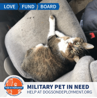 Dogs, Love, and Memes: LOVE FUNDBOARD  ps by  MILITARY PET IN NEED  HELP AT DOGSONDEPLOYMENT.ORG  Dogs on Deployment Scrappy is a smart cat that loves having his ears scratched! Him and his brother Stryper both need temporary homes while their military parent is deployed! We hope you can help these adorable felines!  Location: Glendale , AZ Date: December 26, 2018 - December 27, 2019   Pet's Name: Scrappy Breed: American Shorthair Gender: Neutered Male Size: Small (under 20lbs) Age: Adult (4-9 years)  Visit https://www.dogsondeployment.org/profile/51564 to learn more about us, register and contact our owner! (Must be registered and logged on to view all information!)
