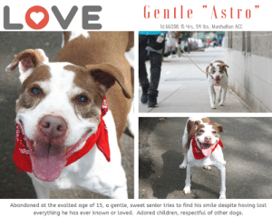 """Being Alone, Cats, and Children: LOVE  Gentle """"Astro""""  ld 66038, 15 yrs, 54 bs, Manhattan ACC  Abandoned at the exalted age of 15, a gentle, sweet senior tries to find his smile despite having lost  everything he has ever known or loved. Adored children, respectful of other dogs. INTAKE DATE – 6/15/2019   """"I'm 15 years old, and all alone in the world.  Despite how dark everything seems, I still love taking walks to the park, because it brings me joy.  The only thing I dream of, is a family who will love me, and be by my side now that I am old and in need of a friend.  Will you help me?  Will you save my life?""""  We feel so sad for ASTRO.  No dog of this exalted age should be facing the end of his life alone.  Won't you open your heart and home to him?  He got a Coveted LEVEL 1 behavior rating – the BEST!  He would be forever grateful, and so would we.  Message our page or email us at MustLoveDogsNYC@gmail.com for assistance.  A volunteer writes:  """"We often take things for granted. Astro for sure did not see it coming. He was supposed to spend his golden years pampered and loved amidst his familiars and in his home. He may be bewildered, but not lost, as his spirit lifts on our way to the park. To him, it probably feels like old times! He strolls lightly, wonders about a mob of sparrows bathing in dirt, eyes a young gal walking next to her caretaker, and finally rests by my feet for caresses. I feel better about Astro! If he can lighten up at the care center, he can turn a new page in his life with a loving owner in a new home! How about meeting Astro and opening your door and heart to this gentle soul? Astro is at the Manhattan Care Center.""""   Volunteer Misha Barbour Writes: """"ASTRO fka CASTRO #66038 is 15 years-old and surrendered on Saturday. The staff member who was taking him for his stroll had to carry him up and down the stairs, though he walked easily along the street. His nails are so long they are curling into his paw pads, but he paused when he saw me crouch"""