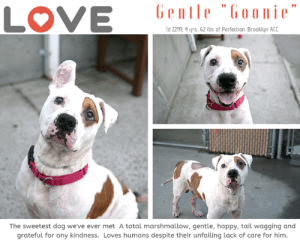 I have been returned as a Stray :(   INTAKE DATE – 6/2/2019  Our hearts break for Goonie, who really is the sweetest dog we've ever known, and who has been failed over and over by lousy, uncommitted adopters.  Will someone step in to give him the happiness he has only ever dreamed of?     <3  GOONIE fka HELIOS looks like he has been through the wringer.  This super sweet boy who the volunteers say is just a big marshmallow, is so gentle, cuddly, loving and good.  He has not had the best of care, in fact – he's a hot mess, but he forgives and forgets the treatment he has suffered at the hands of the humans he loves, and remains so optimistic.   We should all take a page out of Helios' book – he tries to find joy in every day. He loves to cuddle, he adores other dogs, and he got a COVETED LEVEL 1 RATING on his behavior.  He's simply the greatest dog we've known.  And he has lived his whole life dreaming of a committed family – of a happiness he has never known.  Will you please help this poor boy?  He has our hearts, he will have yours too.  Give him a chance, foster or adopt him now.  PRIVATE MESSAGE our page or email us at MUSTLOVEDOGSYNYC@GMAIL.COM for assistance.  MY MOVIES  Goonie ~ Adorable Gentleman   https://youtu.be/nLphmP9Q65Y  Mushmellow <3  https://youtu.be/Yjj5V86XtbA  GOONIE FKA HELIOS, ID# 22119, now 4 yrs old, 62.8 lbs, Unaltered Male Brooklyn ACC, Large Mixed Breed, White / Tan Male Owner Surrender Reason:  Adoption Return 6/2/2019 (was adopted 3/7/2018) Surrender Reason:  Came in as a Stray Shelter Assessment Rating: LEVEL 1 Medical Behavior Rating:  Green  INTAKE PROFILE - BASIC INFORMATION: Gooch aka Goonie is 4 year old is a White and tan large mixed breed dog. He came as a stray. Goonie is a friendly and outgoing dog around strangers.    He as medical issues.  Goonie  has had ongoing skin issues that have not resolved.   INTAKE NOTES – DATE OF INTAKE, 4-Mar-2018: Upon intake Goonie allowed all handling. Counselor was able to collar, take a photo 