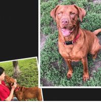 Children, Family, and Friends: Love labs?? My name is Nutmeg. I am a lovely cinnamon lab mix who is a friendly, exuberant girl who would be a good match for an active family. I love to play tug of war and I love treats! Maybe that's why I've been able to learn many commands. I'll even shake your hand! Due to how excited I am to meet new people, I would probably do best in a home with older children seeing as I don't always know how big I am around smaller tykes. If you have a dog in your family already, please bring them to meet me so everyone can make sure we will be good friends!