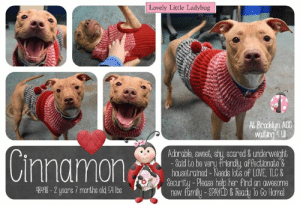 "TO BE KILLED - JULY 20, 2019  Cinnamon was adopted in December & returned in July :( Now she's on the kill list  Cinnamon is sugar and spice and everything nice! We adore this amazing girl.  Happy, happy, happy, this little girl just NEVER stops smiling. Cinnamon is an essential holiday confection and just as sweet and spicy as her name suggests. She wiggles, she waggles, she rolls for belly rubs and is thrilled to shower you with hugs and kisses. And face it, no one rocks pom poms like this little pixie! Don't let her languish a minute longer at the Brooklyn Center. She belongs with a family, helping fetch ornaments as you put up the holiday tree. You won't find a more loving or affectionate lady. So please hurry and message our page or email us at MustLoveDogsNYC@gmail.com for assistance fostering or adopting our adorable little girl.  CINNAMON@BROOKLYN ACC Hello, my name is Cinnamon My animal id is #48498 I am a desexed female tan dog at the  Brooklyn Animal Care Center The shelter thinks I am about 2 years 7 months old, 54 lbs Came into shelter as owne4r surrender 7/13/2019 Reason Stated: OTHER   Cinnamon was placed at risk due to behavioral concerns observed at his previous home and in the care center. Cinnamon has display Anxiety which has affected his behavior display, he is also reported to have food guarding and is known to growl as people approach his bowl. Given this behavior concerns, we are recommending placement on an adult only home with an experienced dog adopter. Cinnamon is otherwise healthy.  My medical notes are... Weight: 54.2 lbs Vet Notes Post Surgery Note 12/2/2018 DVM Intake Exam Estimated age: ~1.5-2yrs based on O hx. Consistent with exam  Microchip noted on Intake? scanned negative. placed by LVT  History : O surrender due to inability to care for P.  Subjective / Observed Behavior - BAR; shy and trembling; tense during exam. Warms up very quickly and enjoys being pet and cuddling.  Evidence of Cruelty seen - none  Evidence of Trauma seen - none  Objective  BCS 4.5/9 EENT: Eyes clear, ears clean, no nasal or ocular discharge noted Oral Exam: dc 1/5; pd 1/5  PLN: No enlargements noted H/L: No murmur ausculted; CRT < 2, Lungs clear, eupnic ABD: Non painful, no masses palpated U/G: intact female. no scar or tattoo seen.  MSI: Ambulatory x 4, skin free of parasites, no masses noted, healthy hair coat; focal 3 inch healed scar along the left lateral shoulder  CNS: Mentation appropriate - no signs of neurologic abnormalities Rectal: externally normal.   Assessment dental disease  slightly underweight  Prognosis: excellent!   Plan: ok for sx and adoption.   SURGERY: Okay for surgery  12/4/2018  H: Scheduled for surgery at Glendale tomorrow  S: BARH. No csvd.  EENT: Eyes clear, ears clean, no nasal or ocular discharge noted H/L: eupnic MSI: Ambulatory x 4, skin free of parasites, no masses noted, healthy hair coat GU: Female CNS: Mentation appropriate - no signs of neurologic abnormalities  Assessment Underweight  Prognosis: good  Plan: ok for surgery  7/13/2019  DVM Intake Exam  Estimated age: 2y7m Microchip noted on Intake? yes  History : RTS, noted behavior concerns  Subjective: BARH, normal appetite, no elimination concerns  Observed Behavior - allowed all handling, soft body, mild resisted blood sdraw  Evidence of Cruelty seen - no  Evidence of Trauma seen - no  Objective  P = wnl R = wnl BCS 5/9  EENT: Eyes clear, ears clean, no nasal or ocular discharge noted Oral Exam: unremarkable adult dentition PLN: No enlargements noted H/L: NSR, NMA, CRT < 2, Lungs clear, eupnic ABD: Non painful, no masses palpated U/G: female spayed, linear green tattoo noted. no leakage or discharge MSI: Ambulatory x 4, skin free of parasites, no masses noted, healthy hair coat CNS: Mentation appropriate - no signs of neurologic abnormalities Rectal: visually normal  Assessment healthy  Prognosis: excellent  Plan: behavior consult  SURGERY: spayed   7/17/2019  H: Monitor for Hematochezia S: BARH. No csvd noted.  Eyes: Grossly appropriate OU. Ears: Unremarkable AU. Nasal Cavity: No nasal discharge.  Lungs: Eupneic Musculoskeletal: Ambulatory x 4 with no appreciable lameness.  BCS = 5/9 Neuro: Appropriate mentation.  Rectal: Not performed. Externally normal.  Assessment: No abnormalities noted  Plan: continue to monitor  Details on my behavior are... Behavior Condition: 1. Green  Behavior History Behavior Assessment Cinnamon immediately had a loose and wiggly body when counselor approached her. Cinnamon had an open mouth during intake and would gently take treats from counselor's hand. Cinnamon allowed to be collared, scanned for a microchip, and be leashed. Cinnamon was panting during intake and would lay down exposing her tummy towards counselor. Cinnamon pulled very hard and understood how to sit.  Date of Intake: 7/13/2019  Spay/Neuter Status: Spayed  Basic Information:: Cinnamon is a tan and white, large dog that is 2 years old that was surrendered to BACC due to resource guarding and the owner's roommate situation. Owner had her for the past 7 months.  Previously lived with:: 3 adults  How is this dog around strangers?: Cinnamon is very friendly and outgoing around strangers and will jump on them.  How is this dog around children?: Cinnamon has not recently lived with children.  How is this dog around other dogs?: Cinnamon spent a brief moment around a male medium sized dog and was described as tolerant until food was placed down and she would growl at him.  How is this dog around cats?: Cinnamon has not been around cats.  Resource guarding:: Cinnamon growls when someone touches her food bowl while eating. Owner reported no resource guarding with her toys or treats.  Bite history:: Cinnamon has no reported bite history but did snap when someone walked in front of her food bowl.  Housetrained:: Yes  Energy level/descriptors:: High energy  Other Notes:: She is not bothered when moved off the furniture, when held/ restrained, or when her sleep is interrupted. Cinnamon is afraid of being given a bath, is not bothered when her coat is brushed or when her paws are touched. She will bark when someone unfamiliar approaches the house and is friendly when someone approaches the family member.  Has this dog ever had any medical issues?: No  Medical Notes: No known medical illness reported.  For a New Family to Know: The family describes Cinnamon as friendly, affectionate, excitable, anxious, and playful. She likes to cuddle and is eager to learn new tricks. Cinnamon loves to run in open spaces and loves to get belly rubs. She will follow someone around when they are home, will play with stuffed toys, squeaky toys, and chew bones. She has been kept mostly indoors and will sleep in her bed. She has been fed call of the wild dry food with 4 cups for the day. Cinnamon is house trained and will use the potty on cement. Cinnamon is well behaved when left home alone, has never been crate trained, and is well behaved in the yard. Cinnamon understands how to sit, stay, and give paw. She will go on slow walks on the leash, running, or play in the yard for exercise. Cinnamon will pull lightly on the leash and when off the leash she will keep her distance and is difficult to catch.  Date of intake:: 12/1/2018  Spay/Neuter status:: No  Means of surrender (length of time in previous home):: Owner surrender  Previously lived with:: 2 adults  Behavior toward strangers:: Wiggly, attention seeking  Behavior toward children:: Playful  Behavior toward dogs:: Unknown  Behavior toward cats:: Unknown  Resource guarding:: Growls when food, toys, bones are approached; her body will tense and she will hover over the item and bare teeth.  Bite history:: None reported  Housetrained:: Partially  Energy level/descriptors:: Friendly, affectionate and playful with a high energy level  Other Notes:: 7/13/19 Owner surrender, second stay in the care center Spayed/Neutered: Yes Previously lived with: 3 Adults Behavior towards strangers: Very friendly, outgoing, jumps up Behavior towards children: Unknown Behavior towards dogs: Tolerant (w/visiting medium, male dog) Behavior towards cats: Unknown Resource guarding: Previous owner reported Cinnamon to growl and sometimes snap when her food bowl is touched while she is eating. Cinnamon has also been observed to growl toward a visiting dog who approached her food while eating. No resource guarding reported over toys or treats. Bite history: None reported Housetrained: Yes Energy level/descriptors: Cinnamon is described as friendly, affectionate, excitable, anxious and playful with a high level of energy. Other: Cinnamon has snapped at the resident roommate when she walked passed Cinnamon who was laying next to her food bowl. She growled and snapped at his foot but did not make direct contact with him.  Summary:: Leash Walking Strength and pulling: Mild-moderate pulling Reactivity to humans: None Reactivity to dogs: None Leash walking comments:  Sociability Loose in room (15-20 seconds):Soft and loose, tail wagging, some panting, approaches readily, solicits attention, ears back, wiggly, lip licking, shakes off, panting leans into and accepts all contact Call over: Approaches readily, soft, loose and wiggly, tail wagging Sociability comments:   Handling  Soft handling: Soft, loose and wiggly, jumps up into handler's lap softly, leans into handler, ears back, tail wagging, some panting, lip licking, leans into and accepts all contact Exuberant handling: Soft and loose, ears back, tail wagging, some panting, lip licking, leans into and accepts all contact Handling comments:  Arousal Jog: Engages in play with handler, soft and loose, jump up softly, tail wagging, wiggly, leans into handler Arousal comments:   Knock Knock Comments: Pulls toward door as assistant exits, paces, panting; No response to knock; Approaches assistant readily, jumps up softly, tail wagging, panting, ears back  Toy  Toy comments: Grips toy, hovers, tenses and growls when approached  Summary:: According to Cinnamon's previous owner, Cinnamon has not interacted with dogs, therefore making her behavior around other dogs unknown. Her most recent owner reported that she was briefly around a male dog and tolerated him except when food was present.  12/2/2018- 12/3/2018: Cinnamon is introduced to a novel male. Cinnamon maintains a soft body and wanders the pen. Cinnamon spent the majority of the session seeking handler attention.   7/14/2019: Cinnamon displays very similar behavior as her first stay at the Care Center, soft posture, allows a brief greet but mostly avoids and hides behind the handlers.   7/18: Cinnamon was anxious today during playgroup. She could not focus as she paced the pens heavily panting. She did not greet the novel female.  Summary (1):: Cinnamon understands the cues for ""sit,"" ""stay,"" and ""give paw.""  Date of intake:: 7/13/2019  Summary:: Loose and wiggly, open mouth, readily accepted treats softly, panting; Allowed all handling  Date of initial:: 7/13/2019  Summary:: Soft, minimal resistance; Allowed all handling  ENERGY LEVEL:: Cinnamon has been observed to exhibit a high level of energy during her interactions in the care center. We cannot be certain of her behavior in a home environment, but we recommend that she be provided daily mental and physical stimulation as an outlet for her energy.  IN SHELTER OBSERVATIONS:: 7/18: When a handler attempted to remove Cinnamon from her kennel for playgroup she was baring her teeth, lunging, and hard barking. The handler was unable to leash her as she would jump on the kennel door and snap at the handler's hands. The handler asked for assistance from a second handler. The second handler approached the kennel and Cinnamon's behavior began to escalate. When the second handler attempted to remove Cinnamon she began to bite and hold onto the lead. She released the lead after a few seconds and would jump up and snap at the handler's hands again. The second handler was able to successfully leash Cinnamon after several attempts and brought her out to the play yard.   Additional Behavior Upon Intake (7/13/19): Cinnamon was observed to lay down and expose her belly, accepting all contact from staff. She was also observed to pull hard when being walked on leash.  BEHAVIOR DETERMINATION:: Level 3  Behavior Asilomar: TM - Treatable-Manageable  Recommendations:: No children (under 13)  Recommendations comments:: No children (under 13): Due to severity of Cinnamon's reported and observed resource guarding, we feel she would be best set up to succeed if placed in an experienced adult only home environment. Safe and appropriate management is highly advise as well as seeking guidance from a professional trainer or behaviorist should these challenges present themselves in a new home environment.  Potential challenges: : Resource guarding,Anxiety,Strength/leash pulling  Potential challenges comments:: Resource guarding: In two separate home environments, Cinnamon is reported to growl, snap, hover and bare teeth over high value items such as her food, toys and bones. She has escalating to snapping towards a person who walked passed her food bowl as well as growl towards a dog who also approached her while eating. This behavior was also observed during her interactions in the care center when Cinnamon was introduced to a plush squeaky toy, where she was observed to tense, hover and growl when approached. Please refer to the handout for Resource guarding.  Anxiety: Cinnamon exhibits anxious behavior during her interactions in the care center, where she has been observed to pant and pace around the room. Please refer to the handout for Generalized Anxiety.  Strength/leash pulling: Cinnamon was observed to display leash pulling due to her strength. Please refer to the handout on Strength/leash pulling.  *** TO FOSTER OR ADOPT ***  HOW TO RESERVE A ""TO BE KILLED"" DOG ONLINE (only for those who can get to the shelter IN PERSON to complete the adoption process, and only for the dogs on the list NOT marked New Hope Rescue Only). Follow our Step by Step directions below!   *PLEASE NOTE – YOU MUST USE A PC OR TABLET – PHONE RESERVES WILL NOT WORK! **   STEP 1: CLICK ON THIS RESERVE LINK: https://newhope.shelterbuddy.com/Animal/List  Step 2: Go to the red menu button on the top right corner, click register and fill in your info.   Step 3: Go to your email and verify account  \ Step 4: Go back to the website, click the menu button and view available dogs   Step 5: Scroll to the animal you are interested and click reserve   STEP 6 ( MOST IMPORTANT STEP ): GO TO THE MENU AGAIN AND VIEW YOUR CART. THE ANIMAL SHOULD NOW BE IN YOUR CART!  Step 7: Fill in your credit card info and complete transaction   HOW TO FOSTER OR ADOPT IF YOU *CANNOT* GET TO THE SHELTER IN PERSON, OR IF THE DOG IS NEW HOPE RESCUE ONLY!   You must live within 3 – 4 hours of NY, NJ, PA, CT, RI, DE, MD, MA, NH, VT, ME or Norther VA.   Please PM our page for assistance. You will need to fill out applications with a New Hope Rescue Partner to foster or adopt a dog on the To Be Killed list, including those labelled Rescue Only. Hurry please, time is short, and the Rescues need time to process the applications.: Lovely Little Ladybug  AL Brooklyn ACC  waiting U  Adorable, sweat, shy scared& underwelght  -Sald to be very friendy affectlonate&  housetrained -Needs lots of LOVE, TILC&  Security-Please help her find an awesome  new famly-SPAYED&Ready lo Go Homel  Cinnamon  4348-2 yoars 7 months old 4 lbs TO BE KILLED - JULY 20, 2019  Cinnamon was adopted in December & returned in July :( Now she's on the kill list  Cinnamon is sugar and spice and everything nice! We adore this amazing girl.  Happy, happy, happy, this little girl just NEVER stops smiling. Cinnamon is an essential holiday confection and just as sweet and spicy as her name suggests. She wiggles, she waggles, she rolls for belly rubs and is thrilled to shower you with hugs and kisses. And face it, no one rocks pom poms like this little pixie! Don't let her languish a minute longer at the Brooklyn Center. She belongs with a family, helping fetch ornaments as you put up the holiday tree. You won't find a more loving or affectionate lady. So please hurry and message our page or email us at MustLoveDogsNYC@gmail.com for assistance fostering or adopting our adorable little girl.  CINNAMON@BROOKLYN ACC Hello, my name is Cinnamon My animal id is #48498 I am a desexed female tan dog at the  Brooklyn Animal Care Center The shelter thinks I am about 2 years 7 months old, 54 lbs Came into shelter as owne4r surrender 7/13/2019 Reason Stated: OTHER   Cinnamon was placed at risk due to behavioral concerns observed at his previous home and in the care center. Cinnamon has display Anxiety which has affected his behavior display, he is also reported to have food guarding and is known to growl as people approach his bowl. Given this behavior concerns, we are recommending placement on an adult only home with an experienced dog adopter. Cinnamon is otherwise healthy.  My medical notes are... Weight: 54.2 lbs Vet Notes Post Surgery Note 12/2/2018 DVM Intake Exam Estimated age: ~1.5-2yrs based on O hx. Consistent with exam  Microchip noted on Intake? scanned negative. placed by LVT  History : O surrender due to inability to care for P.  Subjective / Observed Behavior - BAR; shy and trembling; tense during exam. Warms up very quickly and enjoys being pet and cuddling.  Evidence of Cruelty seen - none  Evidence of Trauma seen - none  Objective  BCS 4.5/9 EENT: Eyes clear, ears clean, no nasal or ocular discharge noted Oral Exam: dc 1/5; pd 1/5  PLN: No enlargements noted H/L: No murmur ausculted; CRT < 2, Lungs clear, eupnic ABD: Non painful, no masses palpated U/G: intact female. no scar or tattoo seen.  MSI: Ambulatory x 4, skin free of parasites, no masses noted, healthy hair coat; focal 3 inch healed scar along the left lateral shoulder  CNS: Mentation appropriate - no signs of neurologic abnormalities Rectal: externally normal.   Assessment dental disease  slightly underweight  Prognosis: excellent!   Plan: ok for sx and adoption.   SURGERY: Okay for surgery  12/4/2018  H: Scheduled for surgery at Glendale tomorrow  S: BARH. No csvd.  EENT: Eyes clear, ears clean, no nasal or ocular discharge noted H/L: eupnic MSI: Ambulatory x 4, skin free of parasites, no masses noted, healthy hair coat GU: Female CNS: Mentation appropriate - no signs of neurologic abnormalities  Assessment Underweight  Prognosis: good  Plan: ok for surgery  7/13/2019  DVM Intake Exam  Estimated age: 2y7m Microchip noted on Intake? yes  History : RTS, noted behavior concerns  Subjective: BARH, normal appetite, no elimination concerns  Observed Behavior - allowed all handling, soft body, mild resisted blood sdraw  Evidence of Cruelty seen - no  Evidence of Trauma seen - no  Objective  P = wnl R = wnl BCS 5/9  EENT: Eyes clear, ears clean, no nasal or ocular discharge noted Oral Exam: unremarkable adult dentition PLN: No enlargements noted H/L: NSR, NMA, CRT < 2, Lungs clear, eupnic ABD: Non painful, no masses palpated U/G: female spayed, linear green tattoo noted. no leakage or discharge MSI: Ambulatory x 4, skin free of parasites, no masses noted, healthy hair coat CNS: Mentation appropriate - no signs of neurologic abnormalities Rectal: visually normal  Assessment healthy  Prognosis: excellent  Plan: behavior consult  SURGERY: spayed   7/17/2019  H: Monitor for Hematochezia S: BARH. No csvd noted.  Eyes: Grossly appropriate OU. Ears: Unremarkable AU. Nasal Cavity: No nasal discharge.  Lungs: Eupneic Musculoskeletal: Ambulatory x 4 with no appreciable lameness.  BCS = 5/9 Neuro: Appropriate mentation.  Rectal: Not performed. Externally normal.  Assessment: No abnormalities noted  Plan: continue to monitor  Details on my behavior are... Behavior Condition: 1. Green  Behavior History Behavior Assessment Cinnamon immediately had a loose and wiggly body when counselor approached her. Cinnamon had an open mouth during intake and would gently take treats from counselor's hand. Cinnamon allowed to be collared, scanned for a microchip, and be leashed. Cinnamon was panting during intake and would lay down exposing her tummy towards counselor. Cinnamon pulled very hard and understood how to sit.  Date of Intake: 7/13/2019  Spay/Neuter Status: Spayed  Basic Information:: Cinnamon is a tan and white, large dog that is 2 years old that was surrendered to BACC due to resource guarding and the owner's roommate situation. Owner had her for the past 7 months.  Previously lived with:: 3 adults  How is this dog around strangers?: Cinnamon is very friendly and outgoing around strangers and will jump on them.  How is this dog around children?: Cinnamon has not recently lived with children.  How is this dog around other dogs?: Cinnamon spent a brief moment around a male medium sized dog and was described as tolerant until food was placed down and she would growl at him.  How is this dog around cats?: Cinnamon has not been around cats.  Resource guarding:: Cinnamon growls when someone touches her food bowl while eating. Owner reported no resource guarding with her toys or treats.  Bite history:: Cinnamon has no reported bite history but did snap when someone walked in front of her food bowl.  Housetrained:: Yes  Energy level/descriptors:: High energy  Other Notes:: She is not bothered when moved off the furniture, when held/ restrained, or when her sleep is interrupted. Cinnamon is afraid of being given a bath, is not bothered when her coat is brushed or when her paws are touched. She will bark when someone unfamiliar approaches the house and is friendly when someone approaches the family member.  Has this dog ever had any medical issues?: No  Medical Notes: No known medical illness reported.  For a New Family to Know: The family describes Cinnamon as friendly, affectionate, excitable, anxious, and playful. She likes to cuddle and is eager to learn new tricks. Cinnamon loves to run in open spaces and loves to get belly rubs. She will follow someone around when they are home, will play with stuffed toys, squeaky toys, and chew bones. She has been kept mostly indoors and will sleep in her bed. She has been fed call of the wild dry food with 4 cups for the day. Cinnamon is house trained and will use the potty on cement. Cinnamon is well behaved when left home alone, has never been crate trained, and is well behaved in the yard. Cinnamon understands how to sit, stay, and give paw. She will go on slow walks on the leash, running, or play in the yard for exercise. Cinnamon will pull lightly on the leash and when off the leash she will keep her distance and is difficult to catch.  Date of intake:: 12/1/2018  Spay/Neuter status:: No  Means of surrender (length of time in previous home):: Owner surrender  Previously lived with:: 2 adults  Behavior toward strangers:: Wiggly, attention seeking  Behavior toward children:: Playful  Behavior toward dogs:: Unknown  Behavior toward cats:: Unknown  Resource guarding:: Growls when food, toys, bones are approached; her body will tense and she will hover over the item and bare teeth.  Bite history:: None reported  Housetrained:: Partially  Energy level/descriptors:: Friendly, affectionate and playful with a high energy level  Other Notes:: 7/13/19 Owner surrender, second stay in the care center Spayed/Neutered: Yes Previously lived with: 3 Adults Behavior towards strangers: Very friendly, outgoing, jumps up Behavior towards children: Unknown Behavior towards dogs: Tolerant (w/visiting medium, male dog) Behavior towards cats: Unknown Resource guarding: Previous owner reported Cinnamon to growl and sometimes snap when her food bowl is touched while she is eating. Cinnamon has also been observed to growl toward a visiting dog who approached her food while eating. No resource guarding reported over toys or treats. Bite history: None reported Housetrained: Yes Energy level/descriptors: Cinnamon is described as friendly, affectionate, excitable, anxious and playful with a high level of energy. Other: Cinnamon has snapped at the resident roommate when she walked passed Cinnamon who was laying next to her food bowl. She growled and snapped at his foot but did not make direct contact with him.  Summary:: Leash Walking Strength and pulling: Mild-moderate pulling Reactivity to humans: None Reactivity to dogs: None Leash walking comments:  Sociability Loose in room (15-20 seconds):Soft and loose, tail wagging, some panting, approaches readily, solicits attention, ears back, wiggly, lip licking, shakes off, panting leans into and accepts all contact Call over: Approaches readily, soft, loose and wiggly, tail wagging Sociability comments:   Handling  Soft handling: Soft, loose and wiggly, jumps up into handler's lap softly, leans into handler, ears back, tail wagging, some panting, lip licking, leans into and accepts all contact Exuberant handling: Soft and loose, ears back, tail wagging, some panting, lip licking, leans into and accepts all contact Handling comments:  Arousal Jog: Engages in play with handler, soft and loose, jump up softly, tail wagging, wiggly, leans into handler Arousal comments:   Knock Knock Comments: Pulls toward door as assistant exits, paces, panting; No response to knock; Approaches assistant readily, jumps up softly, tail wagging, panting, ears back  Toy  Toy comments: Grips toy, hovers, tenses and growls when approached  Summary:: According to Cinnamon's previous owner, Cinnamon has not interacted with dogs, therefore making her behavior around other dogs unknown. Her most recent owner reported that she was briefly around a male dog and tolerated him except when food was present.  12/2/2018- 12/3/2018: Cinnamon is introduced to a novel male. Cinnamon maintains a soft body and wanders the pen. Cinnamon spent the majority of the session seeking handler attention.   7/14/2019: Cinnamon displays very similar behavior as her first stay at the Care Center, soft posture, allows a brief greet but mostly avoids and hides behind the handlers.   7/18: Cinnamon was anxious today during playgroup. She could not focus as she paced the pens heavily panting. She did not greet the novel female.  Summary (1):: Cinnamon understands the cues for ""sit,"" ""stay,"" and ""give paw.""  Date of intake:: 7/13/2019  Summary:: Loose and wiggly, open mouth, readily accepted treats softly, panting; Allowed all handling  Date of initial:: 7/13/2019  Summary:: Soft, minimal resistance; Allowed all handling  ENERGY LEVEL:: Cinnamon has been observed to exhibit a high level of energy during her interactions in the care center. We cannot be certain of her behavior in a home environment, but we recommend that she be provided daily mental and physical stimulation as an outlet for her energy.  IN SHELTER OBSERVATIONS:: 7/18: When a handler attempted to remove Cinnamon from her kennel for playgroup she was baring her teeth, lunging, and hard barking. The handler was unable to leash her as she would jump on the kennel door and snap at the handler's hands. The handler asked for assistance from a second handler. The second handler approached the kennel and Cinnamon's behavior began to escalate. When the second handler attempted to remove Cinnamon she began to bite and hold onto the lead. She released the lead after a few seconds and would jump up and snap at the handler's hands again. The second handler was able to successfully leash Cinnamon after several attempts and brought her out to the play yard.   Additional Behavior Upon Intake (7/13/19): Cinnamon was observed to lay down and expose her belly, accepting all contact from staff. She was also observed to pull hard when being walked on leash.  BEHAVIOR DETERMINATION:: Level 3  Behavior Asilomar: TM - Treatable-Manageable  Recommendations:: No children (under 13)  Recommendations comments:: No children (under 13): Due to severity of Cinnamon's reported and observed resource guarding, we feel she would be best set up to succeed if placed in an experienced adult only home environment. Safe and appropriate management is highly advise as well as seeking guidance from a professional trainer or behaviorist should these challenges present themselves in a new home environment.  Potential challenges: : Resource guarding,Anxiety,Strength/leash pulling  Potential challenges comments:: Resource guarding: In two separate home environments, Cinnamon is reported to growl, snap, hover and bare teeth over high value items such as her food, toys and bones. She has escalating to snapping towards a person who walked passed her food bowl as well as growl towards a dog who also approached her while eating. This behavior was also observed during her interactions in the care center when Cinnamon was introduced to a plush squeaky toy, where she was observed to tense, hover and growl when approached. Please refer to the handout for Resource guarding.  Anxiety: Cinnamon exhibits anxious behavior during her interactions in the care center, where she has been observed to pant and pace around the room. Please refer to the handout for Generalized Anxiety.  Strength/leash pulling: Cinnamon was observed to display leash pulling due to her strength. Please refer to the handout on Strength/leash pulling.  *** TO FOSTER OR ADOPT ***  HOW TO RESERVE A ""TO BE KILLED"" DOG ONLINE (only for those who can get to the shelter IN PERSON to complete the adoption process, and only for the dogs on the list NOT marked New Hope Rescue Only). Follow our Step by Step directions below!   *PLEASE NOTE – YOU MUST USE A PC OR TABLET – PHONE RESERVES WILL NOT WORK! **   STEP 1: CLICK ON THIS RESERVE LINK: https://newhope.shelterbuddy.com/Animal/List  Step 2: Go to the red menu button on the top right corner, click register and fill in your info.   Step 3: Go to your email and verify account  \ Step 4: Go back to the website, click the menu button and view available dogs   Step 5: Scroll to the animal you are interested and click reserve   STEP 6 ( MOST IMPORTANT STEP ): GO TO THE MENU AGAIN AND VIEW YOUR CART. THE ANIMAL SHOULD NOW BE IN YOUR CART!  Step 7: Fill in your credit card info and complete transaction   HOW TO FOSTER OR ADOPT IF YOU *CANNOT* GET TO THE SHELTER IN PERSON, OR IF THE DOG IS NEW HOPE RESCUE ONLY!   You must live within 3 – 4 hours of NY, NJ, PA, CT, RI, DE, MD, MA, NH, VT, ME or Norther VA.   Please PM our page for assistance. You will need to fill out applications with a New Hope Rescue Partner to foster or adopt a dog on the To Be Killed list, including those labelled Rescue Only. Hurry please, time is short, and the Rescues need time to process the applications."