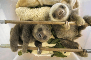 Animals, Facts, and Tumblr: loveofwildthings:  Two-toed sloths cannot shiver to stay warm like other mammals due to their low metabolic rates and little muscle tissue. #animalfacts #animals #facts #didyouknow #coolfacts #nature #sloth #twotoedsloth #sloths