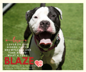 "Being Alone, Animals, and Apparently: LOVES TO GIVE  KISSES, CATCH  SNOWFLAKES AND  TAKE BATHS  WHATALOVE!  BLAZE  #62669, 2 years old and 62 Handsome lbs  Waiting for his hero at Manhattan ACC TO BE KILLED 5/23/2019  BLAZE JUMPS UP TO CATCH SNOWFLAKES IN HIS MOUTH!   Reading his surrender notes, it is hard to understand why Blaze now finds himself at the shelter. Clearly, he was taught his commands, walks at your side on leash, is pee-pee pad training. He had the attention of his family and their care. He lived with other dogs, a cat and a 10 year old, and would give kisses to all of them! Maybe he did not want to share his treats, who cannot relate to that?? But it is the special comments, the ones about how he loved baths, and would roll over in the tub….. The one about catching snowflakes in his mouth - show that this is a special boy. It should not come as a surprise to any of us, that when one who has known love, can then feel anxious in a new place without his loved ones. SO PLEASE HELP THIS SPECIAL BOY FIND THAT KIND OF LOVE AGAIN! Please SHARE pledge FOSTER adopt and #SAVEBLAZE now!  Blaze #62669 Male black dog @ Manhattan Animal Care Center About 2 years old Weight 62.2 lbs Surrendered as a agency on 12-May-2019.  Blaze is at risk for medical reasons. Blaze was diagnosed with canine infectious respiratory disease complex which is contagious to other animals and will require in home care. Behaviorally, Blaze has been anxious at the care center, especially while in the kennel environment.  My medical notes are... Weight: 62.2 lbs  L V T Notes Vet Notes 13/05/2019  Microchip Scan: negative Evidence of Cruelty: no Observed Behavior: showing teeth, growled, tense and nervous Sex: intact male Estimated Age: reported ~2 yrs Subjective:stray, seemingly healthy Eyes: clear Ears: clean Oral Exam: mild staining Heart: WNL Lungs: WNL Abdomen: WNL Musculoskeletal: Ambx4, BCS 5.5/9 Mentation: BARH Preliminary Assessment: seemingly healthy Plan: DVM intake  14/05/2019  DVM Intake Exam  Estimated age: ~2-3yrs based on PE>  Microchip noted on Intake? scanned negative; placed by LVT   History : stray.   Subjective / Observed Behavior - BAR. P has tense body with tail up when on leash, not restrained. Growled and snapped at muzzle multiple times when attempting to place. After muzzle placement, tail tucked, P shaking and flinching   Evidence of Cruelty seen - none  Evidence of Trauma seen - none   Objective  BCS 5/9 EENT: Eyes clear, ears clean, no nasal or ocular discharge noted Oral Exam: unable to examine due to behavior.  PLN: No enlargements noted H/L: No murmur ausculted; CRT < 2, Lungs clear, eupnic ABD: Non painful, no masses palpated U/G: intact male. testicles smooth and symmetrical.  MSI: Ambulatory x 4, skin free of parasites, no masses noted, healthy hair coat. multiple areas of erythema and alopecia along the pressure points throughout limbs.  CNS: Mentation appropriate - no signs of neurologic abnormalities Rectal: Externally normal.   Assessment apparently healthy   Prognosis: excellent   Plan: recommend behavioral assessment   SURGERY: Okay for surgery  15/05/2019  S/O - vocalising excessively in a kennel - circling   A - shelter anxiety   P - Trazadone 10mg/kg SID PO indefinite  17/05/2019  SO  BAR in kennel. P is laying at front of kennel.   EN -- eyes are clear. Serous nasal discharge and coughing during rounds observation   A  CIRDC   P  enrofloxacin 204mg tablet -- give 1.5 tablet PO q24h x 10 days  cerenia 60mg tablet -- give 0.5 tablet PO q24h x 4 days  Details on my behavior are... Behavior Condition: 4. Orange  Behavior History Behavior Assessment Previously lived with:: 4 puppies (who became dogs together), 1 mother dog, 1 cat, 4 adults, 1 child (10yrs old)  How is this dog around strangers?: Blaze will jump and lick the face of new people who enter the home  How is this dog around children?: Blaze will jump on the child in the home and attempt to lick the face, not really aware of his own weight  How is this dog around other dogs?: Blaze growled at the one male dog in the home as an adult each time they saw each other. He was playful and loving with the female dogs in the home  How is this dog around cats?: Blaze used to sleep with the cat in the home and play together. One time though, when Blaze was not feeling well and was playing with the cat, he took her in his mouth and shook her. After that, owner limited their time together  Resource guarding:: Since Blaze was little, he growled at other dogs (male and female) when they were around his food. He has had no issues with his human being near him when he eats or putting her hand in his mouth  He does not guard when receiving treats. When he receives raw hides, he doesn't usually eat it, but will guard it from the other dogs.  Bite history:: No known bite history  Housetrained:: Yes  Energy level/descriptors:: high  Other Notes:: Blaze uses a wee wee pad in the home and if there is no wee wee pad, he'll go to the door to let owner know he needs to go outside  Medical Notes: anxiety. for example, if he has an accident in the crate, he won't want to come out.  For a New Family to Know: Owner's favorite things about Blaze are his smile, that he's a good boy, is relaxed, really does listen, will rest on stoop outside, and is loving  Blaze loves going for long walks and playing with his ropes. He also loves the snow and will jump up trying to catch the snowflakes in the air. He loves water from a hose as well  He was walked once a day but also had access to the outside. On leash he walks next to owner  Blaze is crate trained and does well in the crate. He is left alone there when owners are away. He will bark only when someone approaches the home or during loud storms  Blaze was fed Pedigree dry food twice a day  He loves being bathed. He laid down on his back in the tub and allows being rubbed. He loves having his coat brushed. When nail clipping attempted, Blaze would pull his paw away.  He knows the commands Gimme a pound (give paw), put it down (sit), lay down, want a treat, go do your business, get in the kennel  Date of intake:: 5/12/2019  Spay/Neuter status:: No  Means of surrender (length of time in previous home):: Stray  Date of assessment:: 5/15/2019  Summary:: Leash Walking Strength and pulling: Moderate Reactivity to humans: None Reactivity to dogs: None Leash walking comments: None  Sociability Loose in room (15-20 seconds): Moderately social Call over: Approaches readily Sociability comments: Body soft, preoccupied with sniffing assessors   Handling  Soft handling: Tolerates contact Exuberant handling: Tolerates contact Comments: Soft body, stands still   Arousal Jog: Follows (loose) Arousal comments: None  Knock: No response Knock Comments: None  Toy: Grips, firm Toy comments: Body soft  Summary:: 5/13- When introduced off leash to a female helper dog, Blaze greets politely at the fence and then when in pen tries to mount female dog.  5/15: Blaze greets a female dog politely and wanders the pen. When she begins to run back and forth, Blaze briefly joins the game.  Date of initial:: 5/12/2019  Summary:: Tense, growled, showed teeth  ENERGY LEVEL:: We have no history on Blaze so we cannot be certain of his behavior in a home environment. However, he is a young, enthusiastic, social dog who will need daily mental and physical activity to keep him engaged and exercised. We recommend long-lasting chews, food puzzles, and hide-and-seek games, in additional to physical exercise, to positively direct his energy and enthusiasm.  BEHAVIOR DETERMINATION:: Level 3  Behavior Asilomar: TM - Treatable-Manageable  Recommendations:: No children (under 13)  Recommendations comments:: No children: The previous owner reported that he was scared of Blaze. However, we don't know what behaviors Blaze displayed in the home to cause this. At the care center, Blaze has growled in his kennel and growled and bared teeth during his medical exam. For these reasons, we recommend an adult-only home.  Potential challenges: : Fearful/potential for defensive aggression  Potential challenges comments:: Fearful/potential for defensive aggression: For reasons unknown, Blaze's previous owner reported that he was scared of Blaze. At the care center, Blaze has been reported to growl in his kennel and growl and bare teeth during his medical exam. Please see handout on Fearful/potential for defensive aggression.  *** TO FOSTER OR ADOPT ***  HOW TO RESERVE A ""TO BE KILLED"" DOG ONLINE (only for those who can get to the shelter IN PERSON to complete the adoption process, and only for the dogs on the list NOT marked New Hope Rescue Only). Follow our Step by Step directions below!   *PLEASE NOTE – YOU MUST USE A PC OR TABLET – PHONE RESERVES WILL NOT WORK! **   STEP 1: CLICK ON THIS RESERVE LINK: https://newhope.shelterbuddy.com/Animal/List  Step 2: Go to the red menu button on the top right corner, click register and fill in your info.   Step 3: Go to your email and verify account  \ Step 4: Go back to the website, click the menu button and view available dogs   Step 5: Scroll to the animal you are interested and click reserve   STEP 6 ( MOST IMPORTANT STEP ): GO TO THE MENU AGAIN AND VIEW YOUR CART. THE ANIMAL SHOULD NOW BE IN YOUR CART!  Step 7: Fill in your credit card info and complete transaction   HOW TO FOSTER OR ADOPT IF YOU *CANNOT* GET TO THE SHELTER IN PERSON, OR IF THE DOG IS NEW HOPE RESCUE ONLY!   You must live within 3 – 4 hours of NY, NJ, PA, CT, RI, DE, MD, MA, NH, VT, ME or Norther VA.   Please PM our page for assistance. You will need to fill out applications with a New Hope Rescue Partner to foster or adopt a dog on the To Be Killed list, including those labelled Rescue Only. Hurry please, time is short, and the Rescues need time to process the applications."