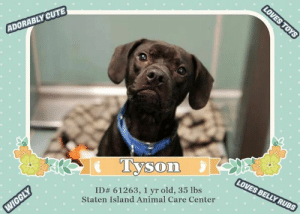 Being Alone, Animals, and Apparently: LOVES TOYS  ADORABLY CUTE  Tyson  LOVES BELLY RUBS  ID# 61263 , 1 yr old, 35 lbs  Staten Island Animal Care Center  WIGGLY TO BE KILLED - 6/27/2019  Playful Pup Tyson @ SI ACC ~ This adorable wiggle butt is a loving, playful and friendly cutie pie. Tyson, fka. Charlie, knows commands, loves belly rubs, loves his toys and loves to snuggle. Sadly he was returned after one month and is in need of a new home again! Please share!  A volunteer writes:  Tyson needs a home with a yard where he can play endlessly with his tennis balls. He loves people too! He was surrendered because the owner stated he is fractious with another dog at the dog park.   Another volunteer writes: Tyson is an owner surrender due to a dog incident at a dog park. He was adopted out of Brooklyn Center, and is now in SIACC. He is a 1 year young neutered male pit mix, and weighs 35 lbs. He loves his tennis balls, and now he will need a NH rescue to pull him out of SIACC.  MY MOVIES  JUNE 2019 https://www.facebook.com/sishelterdogs/videos/317041599200814/  MAY 2019 Charlie (now Tyson) - wiggliest cutie pie  https://youtu.be/XLQAg38EPl4  TYSON fka. CHARLIE, ID# 61263, 1 yr old, 35 lbs, Staten Island Animal Care Center, Medium Mixed Breed Cross, Black / White Neutered Male, Adoption Return (was adopted 05/05/19) Owner Surrender Reason: surrender due to a dog incident at a dog park Shelter Assessment Rating: NEW HOPE ONLY No young children (under 5) No cats Single-pet home Recommend no dog parks Medical Behavior Rating:  OWNER SURRENDER NOTES - BASIC INFORMATION: Tyson is approximately 1 years old. He an altered male. He was surrendered to SIACC due to reported aggressive behavior: He previously lived with 1 adult. His owner stated Tyson is shy for a few minutes and nervous pees around men. He plays gently and exuberantly with adults. Tyson did not live with children in his previous home. Original owner stated Charlie aka Tyson has been around children ages 2 & 6 year