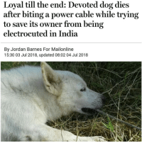 Memes, India, and Jordan: Loyal till the end: Devoted dog dies  after biting a power cable while trying  to save its owner from being  electrocuted in India  By Jordan Barnes For Mailonline  15:30 03 Jul 2018, updated 08:02 04 Jul 2018