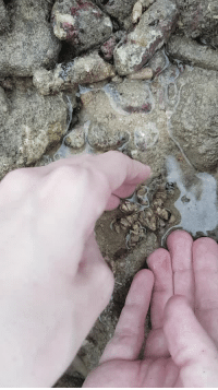 Love, Spider, and Target: luciferslamb: inverted-mind-inc-sideblog:  oneiric8:  courtnashe:   timberwolf-manstab:  painted-bees:  Sean and I found a species of decorator crab in Ya Nui's tidal pools today..!   Somebody enchanted a pile of gravel to become a small spider and then just left it on the beach to fend for itself. Irresponsible.   How dare they, I take the pile of gravel home and love it.   Pet rock   PET ROCK!  i genuinely thought it was weed from the thumbnail