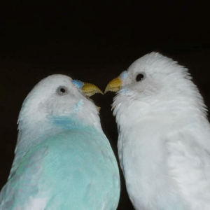 Got, Pic, and  Two: Lucked out and got a pic of my two budgies perfectly in sync