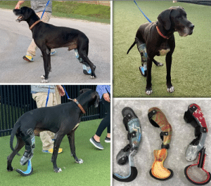 LUKE got his PROSTHETIC and is learning how to WALK with it.  https://www.noahs-arks.net/animal/view/luke-great-dane/1071#.XIMWWy2ZOgQ  The time has finally come for Luke to get his prosthetic.  Derrick Campana has worked tirelessly to make three different prosthetics in hopes one of them would work.  He arrived late Wednesday, and we worked all day Thursday with his crew into the night.   Yesterday was a very long day for everyone, especially Luke.  I did not get home until late into the night and was exhausted.  Today was equally as exhausting which is why I am posting his update so late into the day.   The first prosthetic Luke hated.  It felt too foreign for him, and he was able to twist it off his leg.   I was scared to death. Luke was going to break his leg.   We tried several times but decided that particular one was not going to work.  The second one had potential, but Derrick soon realized we had to have his partial leg securely in a rubber type sock within the prosthetic for him to feel secure.  The third prosthetic had wonderful potential.  It had a rubber sock, and Derrick was able to move the straps further up his leg for great stability.     We finally got Luke's leg in the third prosthetic and waited to see what he would do.  He sat down and didn't want to get up.  We helped him up and allowed him to walk by leaning on us.  He still did not want to put the prosthetic leg down.  One of our Trainers walked in a reminded us that Luke is very treat motivated.  Once the treats came out, Luke forgot about his leg and soon began to walk toward the treats.    We then decided to take him outside on the Canine Grass to see how well he did on that.   He was motivated by the treats but was still holding the prosthetic up way too much.  I decided to throw the treats in the air to see if that got him to put his leg down.  Suddenly, Luke was airborn, and he had used his new prosthetic to push himself off.  We each cheered with excitement.  Derrick was still not convinced, but we were excited.   Luke pushed himself off his prosthetic all over the yard.   Each time he jumped, he got more confident with the leg.  We then took him for a walk outside the yards on the asphalt.  He followed the treats and walked as far as he could until he was exhausted.   Everyone was tired, and it was dark outside, so we decided to call it a day.   Luke has the entire Training Room to himself because of his size, and he was ready to go to bed.  He was really funny about wanted us to leave him alone.  He had his chew toys in his mouth, and he was set for the night.   When Derrick left this morning, he was excited about the progress Luke had made.   He is going to rework the other prosthetics and make some new ones with the information he gathered from the trial session yesterday.   Our sweet boy has gone from being starved to death to jumping and running.   This week we are going to do our best to get some good videos of Luke with his prosthetic.  We will be posting each one as soon as we get it.     Thanks for your patience and giving us the time we needed to get Luke fitted with the Master of Prosthetics, Derick Campana.: LUKE got his PROSTHETIC and is learning how to WALK with it.  https://www.noahs-arks.net/animal/view/luke-great-dane/1071#.XIMWWy2ZOgQ  The time has finally come for Luke to get his prosthetic.  Derrick Campana has worked tirelessly to make three different prosthetics in hopes one of them would work.  He arrived late Wednesday, and we worked all day Thursday with his crew into the night.   Yesterday was a very long day for everyone, especially Luke.  I did not get home until late into the night and was exhausted.  Today was equally as exhausting which is why I am posting his update so late into the day.   The first prosthetic Luke hated.  It felt too foreign for him, and he was able to twist it off his leg.   I was scared to death. Luke was going to break his leg.   We tried several times but decided that particular one was not going to work.  The second one had potential, but Derrick soon realized we had to have his partial leg securely in a rubber type sock within the prosthetic for him to feel secure.  The third prosthetic had wonderful potential.  It had a rubber sock, and Derrick was able to move the straps further up his leg for great stability.     We finally got Luke's leg in the third prosthetic and waited to see what he would do.  He sat down and didn't want to get up.  We helped him up and allowed him to walk by leaning on us.  He still did not want to put the prosthetic leg down.  One of our Trainers walked in a reminded us that Luke is very treat motivated.  Once the treats came out, Luke forgot about his leg and soon began to walk toward the treats.    We then decided to take him outside on the Canine Grass to see how well he did on that.   He was motivated by the treats but was still holding the prosthetic up way too much.  I decided to throw the treats in the air to see if that got him to put his leg down.  Suddenly, Luke was airborn, and he had used his new prosthetic to push himself off.  We each cheered with excitement.  Derrick was still not convinced, but we were excited.   Luke pushed himself off his prosthetic all over the yard.   Each time he jumped, he got more confident with the leg.  We then took him for a walk outside the yards on the asphalt.  He followed the treats and walked as far as he could until he was exhausted.   Everyone was tired, and it was dark outside, so we decided to call it a day.   Luke has the entire Training Room to himself because of his size, and he was ready to go to bed.  He was really funny about wanted us to leave him alone.  He had his chew toys in his mouth, and he was set for the night.   When Derrick left this morning, he was excited about the progress Luke had made.   He is going to rework the other prosthetics and make some new ones with the information he gathered from the trial session yesterday.   Our sweet boy has gone from being starved to death to jumping and running.   This week we are going to do our best to get some good videos of Luke with his prosthetic.  We will be posting each one as soon as we get it.     Thanks for your patience and giving us the time we needed to get Luke fitted with the Master of Prosthetics, Derick Campana.