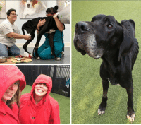 Best Friend, Blessed, and Fresh: LUKE is LOVING Life at the Rehab Center.  https://www.noahs-arks.net/animal/view/luke-great-dane/1028#.XA08LS3MyqA  It is a dreadful day in the Lowcountry for us and the pups.  It has been non-stop raining for the last sixteen hours and is not even thinking about stopping.  When it does end, the temperature is going to drop significantly.  The pups will go from Raincoats this morning to Coats this afternoon so they can get some fresh air and outside play time.  The Staff used to give me a hard time about all of the big raincoats and huge umbrellas I bring in for them.  Not today.   Everyone is grateful for the extra protection, including the pups.   Raingear means you get to go on walks outside, which every pup loves.   Luke is steadily improving.  Dr. Markay is staying on top of his Wound Care.  We have spoken to several prosthetic companies that believe they can make a workable prosthetic for Luke if we can stop the infection from spreading.  The place where Luke chewed his leg off does not leave us a lot of room to attach a, but we are hopeful one can be designed for our sweet boy.   We will not be doing a post tomorrow unless Luke's Medical Condition changes but will be the next day.  Instead, we have to focus on the other critical case we have rescued that are in need of Medical Care.  We will start posting on those tomorrow.   Have a very blessed Sunday filled with lots of Hugs and Love for Man's Best Friend.