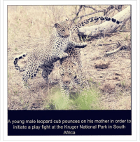 """A mother leopard and her cub in Kruger National Park—a South African safari. 🐯💛🌼 """"Animals should not require our permission to live on earth. Animals were given the right to be here long before we arrived"""" ~ Anthony Douglas Williams. 🙌🙌🙌🙌 Photo source: www.dailymail.co.uk: Ly  A young male leopard cub pounces on his mother in order to  initiate a play fight at the Kruger National Park in South  Africa A mother leopard and her cub in Kruger National Park—a South African safari. 🐯💛🌼 """"Animals should not require our permission to live on earth. Animals were given the right to be here long before we arrived"""" ~ Anthony Douglas Williams. 🙌🙌🙌🙌 Photo source: www.dailymail.co.uk"""