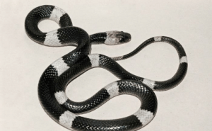 Lay's, Life, and China: Lycodon Aulicus, commonly known as the Indian wolf snake. Often found in human disturbed biotopes. He spends all his life on earth. Active at night. It feeds on geckos and skinks. This is an egg-laying snake. The female lays up to 10 eggs. It lives in India, southern China, in Vietnam, Cambodia.