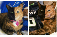Detroit, Detroit Lions, and Memes: M  っ  r LE  W  venus  つA Lions or Seahawks? My eyes may be hawks colors 💚💙💚💙 but I have the heart of a lion, my new home team . 🦁🏈 gotloveforboth playoffs nfl seattle seahawks detroit lions football