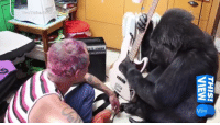 ICYMI: Red Hot Chili Peppers' guitarist jammed out with Koko the gorilla!: M31  NaIN  iSIHL  Youtrolbaebm ICYMI: Red Hot Chili Peppers' guitarist jammed out with Koko the gorilla!