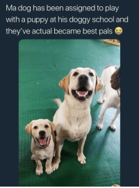 School, Best, and Good: Ma dog has been assigned to play  with a puppy at his doggy school and  they ve actual became best pals <p>good puppers</p>