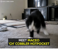"""What a sweetie!  Credit: Maceo """"CH"""" Cobbler Hotpocket: maceo cobble wobble  MEET MACEO  TCH' COBBLER HOTPOCKET What a sweetie!  Credit: Maceo """"CH"""" Cobbler Hotpocket"""
