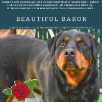 "9/11, Being Alone, and Andrew Bogut: MADE TO LIVE OUTSIDE ALL HIS LIFE AND TREATED AS A ""GUARD DOG"", BARON  LIVED A LIFE OF LONELINESS & HARDSHIP. HE DREAMS OF A NEW LIFE  WIPEOPLE WHO WILL GIVE HIM PATIENCE, TIME, COMPASSION, & LOVE.  BEAUTIFUL BARON  ID 46575, @ 6.5 YRS., 110 LBS AND WAITING WITH HOPE AT THE MANHATTAN ACC *** TO BE KILLED – 11/10/2018 ***  BARON came to the shelter with PATRON, both big, beautiful Rotties whose parent kept them outside 24 x 7, 365 days of the year, saying they were ""guard dogs who barked if strangers came to the home.""  Of course they would bark, they are lonely, abandoned to the elements, living in all sorts of weather, bereft of love, cuddles, kindness.   Undersocialized, not housetrained, Baron certainly didn't imagine this would be his life when he was born into the world. He probably envisioned a family who would sit with him on the sofa, play ball with him in the yard, take him on long walks, maybe down to the pond in summer, and who would keep him safe, loved, and warm through all the cold NYC winters.   Even the landlord complained that the owner was keeping his dogs out of doors.  Now Baron, whose only friend in the world was PATRON, is separated from him, scared and confused.  He has never been in a cage, or a kennel, or even inside.  We can't imagine how he feels today as he waits for his death.  He misses Patron, and he even misses the neglectful parent who dumped him after failing him in every way possible.  Baron needs a home – he needs experienced large breed people – a foster or adopter in an adult only home who can save his life and give him a new life – a life of promise, of happiness, of structure and training and love.  And most importantly, one that is indoors…with a friend who will finally show him what a cuddle is.  If you are that person, please hurry and PRIVATE  MESSAGE our page or email us at MustLoveDogsNYC@gmail.com for assistance.   He is neutered and ready to begin a new life.   BARON, ID 46575 @ 6.5 Yrs. Old, 110 lbs. Manhattan ACC, Large Breed, Rottweiller, Black  Neutered Male Owner Surrender Reason:  Landlord won't allow Shelter Assessment Rating:  New Hope Rescue Only Intake Behavior Rating:   3.  Yellow  I came to the shelter with PATRON (also on the list to die), Id 46576:  https://www.facebook.com/mldsavingnycdogs/photos/a.112459638940315/861585680694370/?type=3&theater  AT RISK MEMO:  Based on behavior reported in previous home and observations in care center, we feel BARON would benefit from placement with a partner who can manage under socialized behavior concerns. Medically he is a healthy dog.  INTAKE NOTE – DATE OF INTAKE 11/06/2018:  Baron allowed scanning for a microchip and positioning for a picture, but did not allow collaring. As staff members walked by him, Barone hard barked and lunged.Owner had to put Baron in the kennel.  SURRENDER NOTES – BASIC INFORMATION:   Baron is a neutered 6 yr old male dog. He was surrendered due to the landlord objecting with the dog being kept outside and scaring people. The dog was being used a guard dog.   He previously lived outside with 1 dog   Baron is Fearful and aggressive with strangers. While in the shelter, a staff member walked by and Baron lunged and snapped at the staff member.    Baron has not spent time around children  Baron has spent time with one other dog and he was relaxed and respectful.   Baron has not been around any cats.   Baron will growl and snap if food or toys are taken away from him.  There is no known bite history.  He is housetrained and has a low energy level.  He has never had any medical issues.   For a New Family to Know: Baron is confident and independent. He has been a guard dog, he will alert owner by barking loudly. He has been kept outdoors only. He eats both wet and dry food. Pedigree brand. He will pull very hard on the leash, if walked. If anyone unfamiliar approaches the home Baron will bark loudly.    SHELTER ASSESSMENT – DATE OF ASSESSMENT:  11/8/2018 Summary:: Due to Baron's known history combined with the aloof behavior displayed in the care center as well as his weak hind end, we believe a handling assessment is not appropriate to perform at this time.  INTAKE BEHAVIOR - Date of intake:: 11/6/2018.  Summary:: Barked and lunged at staff member, allowed minimal handling, placed into kennel by owner  MEDICAL BEHAVIOR - Date of initial:: 11/6/2018.  Summary:: Tense, allowed handling  ENERGY LEVEL:: Baron has displayed a low energy level in the care center.  BEHAVIOR DETERMINATION:: NEW HOPE ONLY Behavior Asilomar: TM - Treatable-Manageable  Recommendations:: No children (under 13),Place with a New Hope partner  Recommendations comments:: No children (under 13): Due to the challenges observed in his previous home environment, we believe Baron would be best set up to succeed in an experienced adult only home at this time. Place with a New Hope partner: In his previous home environment Baron was said to be kept outside and used as a guard dog; his previous owner reports that he is fearful of strangers and will lunge and hard bark when approached. In the care center, he has tolerated some gentle and minimal handling but remains aloof overall and has not attempted to interact with handlers. Because of his known history combined with aloof behavior in the care center, we believe Baron would be best set up to succeed through placement with an experienced rescue partner who will allow him to acclimate and decompress at his own pace - further assessment is recommended before placement into a permanent home environment. Guidance from a professional trainer or veterinary behaviorist is advised should Baron present any challenges in his future home environment.   Potential challenges: : House soiling,Resource guarding,Fearful/potential for defensive aggression  Potential challenges comments:: House-soiling: Baron is reported to not be house-trained as he has lived outside in a yard mostly. Baron will need guidance and consistency to learn to eliminate outside. We recommend crate training (the crate must be made positive and never used as a punishment), frequent walks, rewards for eliminating outside (treats, toys, games), consistent feeding schedule, and careful monitoring when inside. Accidents should never be punished as it can damage the human-dog relationship and is likely to make the problem worse. Resource guarding: Baron is reported to growl and snap over food in his previous home environment. We recommend that Baron be left alone while eating, and that food guarding behavior modification steps (available at ASPCApro.org) be utilized if this behavior is problematic in his future home. Nothing should ever be taken directly out of Baron's mouth, and any time something is removed he should be rewarded with a high value treat or toy. He should be taught the ""drop"" cue and trade-up games. Fearful/potential for defensive aggression: Baron is reported to be fearful around strangers and will hard bark and lunge if approached which was initially observed in the care center upon intake. When being handled after, they have remained aloof so these behaviors may be possibly suppressed due to the stress of the care center. The behavior department recommends an experienced adult home only until he can acclimate to his new home environment for the behavior to be further assessed. Consultation with a professional trainer/behaviorist is advised; force-free, reward based training only is recommended.  MEDICAL NOTES:    9/11/2018  (vet notes) [DVM Intake] DVM Intake Exam Estimated age: 6 years Microchip noted on Intake? YES Microchip Number (If Applicable):985113002108256 History : Subjective: BAR Observed Behavior -Initially he seemed very friendly but randomly would bark and growl without any stimuli, unpredictable Evidence of Cruelty seen -No Evidence of Trauma seen -No Objective T = P =90 R =eup BCS 5/9 EENT: Eyes clear, mild wax AU, no nasal or ocular discharge noted Oral Exam: Muzzled, could not examine thoroughly PLN: No enlargements noted H/L: NSR, NMA, CRT < 2, Lungs clear, eupnic, no c/s ABD: Non painful, no masses palpated U/G: M/N MSI: Ambulatory x 4, skin free of parasites, no masses noted, healthy hair coat CNS: Mentation appropriate - no signs of neurologic abnormalities Rectal: Clean externally Assessment: Apparently healthy Prognosis: Good Plan: No tx needed at this time SURGERY: Already neutered  6/11/2018   L V T Notes Scan negative BARH AMBx4 Slightly nervous,but allowed all handling Neutered~6yrs EENT:WNL No fleas seen Skin:WNL Overweight Mild gingivitis Nosf   *** TO FOSTER OR ADOPT ***    BARON IS RESCUE ONLY. You must fill out applications with New Hope Rescues to foster or adopt him. He cannot be reserved online at the ACC ARL, nor can he be direct adopted at the shelter. PLEASE HURRY AND MESSAGE OUR PAGE FOR ASSISTANCE!   HOW TO RESERVE A ""TO BE KILLED"" DOG ONLINE (only for those who can get to the shelter IN PERSON to complete the adoption process, and only for the dogs on the list NOT marked New Hope Rescue Only). Follow our Step by Step directions below!   *PLEASE NOTE – YOU MUST USE A PC OR TABLET – PHONE RESERVES WILL NOT WORK! **   STEP 1: CLICK ON THIS RESERVE LINK: https://newhope.shelterbuddy.com/Animal/List   Step 2: Go to the red menu button on the top right corner, click register and fill in your info.   Step 3: Go to your email and verify account  \ Step 4: Go back to the website, click the menu button and view available dogs   Step 5: Scroll to the animal you are interested and click reserve   STEP 6 ( MOST IMPORTANT STEP ): GO TO THE MENU AGAIN AND VIEW YOUR CART. THE ANIMAL SHOULD NOW BE IN YOUR CART!  Step 7: Fill in your credit card info and complete transaction    HOW TO FOSTER OR ADOPT IF YOU *CANNOT* GET TO THE SHELTER IN PERSON, OR IF THE DOG IS NEW HOPE RESCUE ONLY!   You must live within 3 – 4 hours of NY, NJ, PA, CT, RI, DE, MD, MA, NH, VT, ME or Norther VA.   Please PM our page for assistance. You will need to fill out applications with a New Hope Rescue Partner to foster or adopt a dog on the To Be Killed list, including those labelled Rescue Only. Hurry please, time is short, and the Rescues need time to process the applications.  Shelter contact information Phone number (212) 788-4000  Email adoption@nycacc.org  Shelter Addresses: Brooklyn Shelter: 2336 Linden Boulevard Brooklyn, NY 11208 Manhattan Shelter: 326 East 110 St. New York, NY 10029 Staten Island Shelter: 3139 Veterans Road West Staten Island, NY 10309"