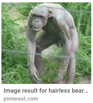 Hairless bear by sodomint MORE MEMES: mage result for hairless bear...  pinterest.com Hairless bear by sodomint MORE MEMES