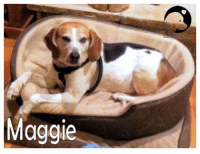 Good night beagle lovers... Sweet beagle dreams...  MAGGIE IS AVAILABLE FOR ADOPTION!  We are featuring MAGGIE, a current MW BREW beagle looking for her furever home. Please click on the link to read her bio and / or to request more information. http://bit.ly/2ehCzC1: Maggie Good night beagle lovers... Sweet beagle dreams...  MAGGIE IS AVAILABLE FOR ADOPTION!  We are featuring MAGGIE, a current MW BREW beagle looking for her furever home. Please click on the link to read her bio and / or to request more information. http://bit.ly/2ehCzC1