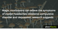 Facts, Memes, and Uber: Magic mushrooms can relieve the symptoms  of cluster headaches, obsessive-compulsive  disorder and depression, research suggests  uber facts Interesting. http://cmsw.mit.edu/angles/2015/wp/magic-mushrooms-or-medical-mushrooms/