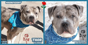 "A Dream, Being Alone, and Animals: MAGNIFICIENT  THOR  MANHATTAN ANIMAL  CARE CENTER  4 YRS OLD  ID 56633  65.6 LBS TO BE KILLED - 6/8/2019  :-( Thor was adopted in March and then returned in June. And with a new name -- NERO. But If he could sing, he'd be singing the old Stevie Wonder Song, ""I never dreamed you'd leave in summer.....why didn't you stay?"" Such a good sweet gentle, and yes -- breathtakingly MAGNIFICENT boy. He's such a gentle soul. He craves to be near you for so much needed TLC. He knows commands, is a good sport (rather indifferent) in playgroup, and we can't imagine why he should have to die on 6/8. . PLEASE help him before it is to late.  A volunteer writes: ""I was not too sure if I should take Thor out... A big guy, tall, well built, strong looking and mighty gorgeous. I might not be up to snuff. But he looked so sweet. It was a go! I never regretted it! Thor is a dream to spend time with, a pleasant walker, likely house trained, a very obedient pooch, a perfect sitter, a paw shaker, right and left and a big tail wagger. He loves company and more recently, I discovered that he enjoys hugs and kisses. Nearing other dogs is no problem and I heard that in playgroups with his peers, he was well behaved. Our Thor is all ""suave"", gentle in his manners and at times, almost timid. What a great companion he will make to the new owner who will make him a beloved pet. Come and meet wondrous Thor at the Manhattan Care Center!  MY MOVIES!  Magnificient Thor  https://youtu.be/MoWoaDO9Fs8  Thor and Princess Brownie  https://youtu.be/J8-MLorq11E  NERO (AKA THOR), ID# 56633, 4 Yrs. Old, 65.6 lbs, Neutered Male Manhattan ACC, Large Mixed Breed, Gray Merle Owner Surrender Reason: Behavior Shelter Assessment Rating: New Hope Rescue Only Behavior Condition: 2. Blue  AT RISK NOTE: Nero (aka THOR) has a bite history and would be best suited for placement with a new hope partner that can further assess his behavior and provide the necessary behavior modification. Medically, Nero has a history of skin allergies which may need further care.   INTAKE NOTE – DATE OF INTAKE, 6/3/2019: Thor had a loose and wiggly body. Counselor was able to scan for a microchip, take a picture, pet and collar him.  OWNER SURRENDER NOTES – BASIC INFORMATION: Basic Information: Thor is a 4 year old male that has no previous or current medical issues that the owner is aware of. Owner had asked a friend to watch Thor for a few days which turned into 8 months to try and re-home Thor but friend can no longer take care of Thor because of landlord issues. Thor previously lived with 2 adults. Thor is friendly and outgoing when strangers approach. Thor has been around teenagers who is described as relaxed, playful and respectful. Thor has been around another large mixed breed female and is described to be relaxed, playful and respectful. Owner did not have any cats so behavior is unknown. Thor is not bothered when someone approaches his food, toys or treats. Thor has no known bite history. He is housetrained and has a medium energy level.  Other Notes: Thor will bark when an unfamiliar person approaches him. He is not bothered when someone bathes him, restrains, disturbs him while he is sleeping or trims his nails.  Medical Notes: Owner stated he has a food allergy so he is given Natural Balance Limited ingredients diet.  For a New Family to Know: Thor is described as friendly, affectionate, playful, confident and independent around the owner. He has a medium activity level and likes to play with balls, stuffed animals and chew bones. In the home, he likes to be in the same room or stay in a favorite spot. He was fed dry food only, Nature Recipe Venison meal twice a day. Thor was kept mostly indoors and is house trained. He would never have any accidents in the home. When he was left alone in the home or in a yard, Thor was well behaved. Thor knows the command sit. For exercise he was taken on slow walks on the leash. Thor will stay close by your side if he's off leash.  SHELTER ASSESSMENT SUMMARIES – DATE OF ASSESSMENT: 3/10/2019  Leash Walking  Strength and pulling: None  Reactivity to humans: None  Reactivity to dogs: None  Leash walking comments: None   Sociability  Loose in room (15-20 seconds): Highly social  Call over: Approaches readily  Sociability comments: Stays by assessor, body soft   Handling  Soft handling: Seeks contact  Exuberant handling: Seeks contact  Comments: Soft body, leaning into pets   Arousal  Jog: Follow (loose)  Arousal comments: None   Knock: Approaches (loose)  Knock Comments: None   Toy: No response  Toy comments: None  PLAYGROUP NOTES – DOG TO DOG SUMMARIES: Behavior history around dogs has been described as relaxed, playful, and respectful. Nero may be most compatible with other respectful, calm dogs after a period of decompression. 3/9: When introduced off leash to a female greeter dog, Nero greets briefly then ignores her and wanders the pen. He continues to ignore her when she attempts to solicit play. 3/11: Nero keeps to himself in a group of male and female dogs.  INTAKE BEHAVIOR - Date of intake:: 3/8/2019 Summary:: Loose body, allowed handling  ENERGY LEVEL:: Nero is described as having a medium level of activity.  BEHAVIOR DETERMINATION:: New Hope Only Behavior Asilomar: TM - Treatable-Manageable  Bite history:: Yes, Nero has bitten 3 people. Circumstances of the first bite are not known, but Nero bit the owner's brother in law in the face, breaking skin. The second bite occurred when the owner's sister was was petting him. Without warning, Nero jumped up and bit her face, leaving bruises. The last bite occurred when the owner's son was petting Nero. He jumped up and bit his face, not breaking skin.  Recommendations:: No children (under 13),Place with a New Hope partner  Recommendations comments:: No children: Due to Nero's bite history, we recommend an adult only home. Place with a New Hope partner: Due to Nero's bite history, the behavior department recommends Nero be placed with a New Hope placement partner who is able to provide an experienced adult-only foster home. A period of decompression is recommended to allow Nero to acclimate comfortably to his new environment; force-free, reward based training only is advised when introducing Nero to new and unfamiliar situations. Consultation with a professional trainer/behaviorist is highly recommended for guidance to safely manage/modify any behavior Nero presents with outside of the care centers.  Potential challenges: : Fearful/potential for defensive aggression,Multiple-bite history/risk of future aggression,Bite history (human)  Potential challenges comments:: Multiple-bite history/risk of future aggression: Nero bit three people in his previous home. The circumstances of two of the bites are known, and in these instances people were petting him when he then jumped up ad bit the person in the face. All of the bites were to people's faces. One bite resulted in broken skin and the other two did not. Please see handout on Bite History.  MEDICAL EXAM NOTES  VET Notes  10/03/2019 [DVM Intake] DVM Intake Exam Estimated age: 4yrs (reported) Microchip noted on Intake? N Microchip Number (If Applicable): History: o/s Subjective: BAR Observed Behavior - attention seeking, likes petting Evidence of Cruelty seen - N Evidence of Trauma seen - N Objective T = DNP P = 96 R = 20 BCS 5/9 EENT: Eyes clear, ears clean w/ erythema AU, no nasal or ocular discharge noted Oral Exam: grade 1-2/4 dental tartar, adult dentition PLN: No enlargements noted H/L: NSR, NMA, CRT < 2, lungs clear, eupnic ABD: Non painful, no masses palpated U/G: Intact male - both testes in scrotum MSI: Ambulatory x 4, skin free of parasites, no masses noted, generalized pruritus, healthy hair coat CNS: Mentation appropriate - no signs of neurologic abnormalities Rectal: Externally normal Assessment: 1) Generalized pruritus w/ no evidence of fleas or flea dirt; erythema AU - ddx allergies (fleas vs. food vs. environmental) vs. other Otherwise apparently healthy young adult intact male dog Prognosis: good Plan: Rec monitoring pruritus - consider diet trial vs. allergy medication (Apoquel vs. Cytopoint); ok for surgery and placement SURGERY: Okay for surgery  14/03/2019 bar eent- very slight nasal d/c a) +/- early CIRDC p) -monitor -consider in house neuter if clinical signs do not progress  16/03/2019 S/O pt BAR EENT – mucoid nasal dis-charge, no ocular discharge, mild nasal congestion, intermittent sneezing Assessment - Suspected CIRDC ""typical kennel cough"" Plan - + Move to isolation + Enrofloxacin 10 mg/kg SID for 14 days + 2 mg/kg cerenia PO SID for 4 days + Proviable x 5 days SID PO + Recheck in 7 days for resolvement and return to general population PROGNOSIS EXCELLENT   20/03/2019 [Spay/Neuter Waiver - Upper Respiratory Illness] Your newly adopted animal is in treatment for an upper respiratory illness. The veterinarian is temporarily waiving this animal from the spay/neuter requirements of the City of NY until such time as the illness has resolved and the pet has sufficiently recovered. At that time, this animal must come into compliance with the spay/neuter requirements.  5/06/2019 [DVM Intake] DVM Intake Exam Estimated age: 4 years Microchip noted on Intake? Yes, previously placed at MACC Microchip Number (If Applicable): History : Returned. On DOH hold. Subjective: BAR Observed Behavior -Timid but approached kennel door with soft body. No growling, barking, lunging, etc. Evidence of Cruelty seen -No Evidence of Trauma seen -No Objective T = P =wnl R =wnl BCS 5/9 EENT: Eyes clear, ears clean, no nasal or ocular discharge noted Oral Exam: wnl PLN: No enlargements noted H/L: NSR, NMA, CRT < 2, Lungs clear, eupnic ABD: Non painful, no masses palpated U/G: M/N MSI: Ambulatory x 4, skin free of parasites, no masses noted, mild erythema on all 4 paws CNS: Mentation appropriate - no signs of neurologic abnormalities Rectal: Clean externally Assessment: -Hx of skin allergies, mild erythema on paws (monitor for now) Prognosis: Good Plan: -Feed hypoallergenic diet only (sign on cage) -Monitor for itching, if noted recommend Benadryl/anti-histamine long-term SURGERY: Already neutered  *** TO FOSTER OR ADOPT ***  NERO (AKA THOR) IS RESCUE ONLY. You must fill out applications with New Hope Rescues to foster or adopt him. He cannot be reserved online at the ACC ARL, nor can he be direct adopted at the shelter. PLEASE HURRY AND MESSAGE OUR PAGE FOR ASSISTANCE!  HOW TO RESERVE A ""TO BE KILLED"" DOG ONLINE (only for those who can get to the shelter IN PERSON to complete the adoption process, and only for the dogs on the list NOT marked New Hope Rescue Only). Follow our Step by Step directions below!   *PLEASE NOTE – YOU MUST USE A PC OR TABLET – PHONE RESERVES WILL NOT WORK! **   STEP 1: CLICK ON THIS RESERVE LINK: https://newhope.shelterbuddy.com/Animal/List  Step 2: Go to the red menu button on the top right corner, click register and fill in your info.   Step 3: Go to your email and verify account  \ Step 4: Go back to the website, click the menu button and view available dogs   Step 5: Scroll to the animal you are interested and click reserve   STEP 6 ( MOST IMPORTANT STEP ): GO TO THE MENU AGAIN AND VIEW YOUR CART. THE ANIMAL SHOULD NOW BE IN YOUR CART!  Step 7: Fill in your credit card info and complete transaction   HOW TO FOSTER OR ADOPT IF YOU *CANNOT* GET TO THE SHELTER IN PERSON, OR IF THE DOG IS NEW HOPE RESCUE ONLY!   You must live within 3 – 4 hours of NY, NJ, PA, CT, RI, DE, MD, MA, NH, VT, ME or Norther VA.   Please PM our page for assistance. You will need to fill out applications with a New Hope Rescue Partner to foster or adopt a dog on the To Be Killed list, including those labelled Rescue Only. Hurry please, time is short, and the Rescues need time to process the applications.  Shelter contact information Phone number (212) 788-4000  Email adoption@nycacc.org  Shelter Addresses: Brooklyn Shelter: 2336 Linden Boulevard Brooklyn, NY 11208 Manhattan Shelter: 326 East 110 St. New York, NY 10029 Staten Island Shelter: 3139 Veterans Road West Staten Island, NY 10309  *** NEW NYC ACC RATING SYSTEM ***  Level 1 Dogs with Level 1 determinations are suitable for the majority of homes. These dogs are not displaying concerning behaviors in shelter, and the owner surrender profile (where available) is positive. Some dogs with Level 1 determinations may still have potential challenges, but these are challenges that the behavior team believe can be handled by the majority of adopters. The potential challenges could include no young children, prefers to be the only dog, no dog parks, no cats, kennel presence, basic manners, low level fear and mild anxiety.   Level 2  Dogs with Level 2 determinations will be suitable for adopters with some previous dog experience. They will have displayed behavior in the shelter (or have owner reported behavior) that requires some training, or is simply not suitable for an adopter with minimal experience. Dogs with a Level 2 determination may have multiple potential challenges and these may be presenting at differing levels of intensity, so careful consideration of the behavior notes will be required for counselling. Potential challenges at Level 2 include no young children, single pet home, resource guarding, on-leash reactivity, mouthiness, fear with potential for escalation, impulse control/arousal, anxiety and separation anxiety.   Level 3 Dogs with Level 3 determinations will need to go to homes with experienced adopters, and the ACC strongly suggest that the adopter have prior experience with the challenges described and/or an understanding of the challenge and how to manage it safely in a home environment. In many cases, a trainer will be needed to manage and work on the behaviors safely in a home environment. It is likely that every dog with a Level 3 determination will have a behavior modification or training plan available to them from the behavior department that will go home with the adopters and be made available to the New Hope Partners for their fosters and adopters. Some of the challenges seen at Level 3 are also seen at Level 1 and Level 2, but when seen alongside a Level 3 determination can be assumed to be more severe. The potential challenges for Level 3 determinations include adult only home (no children under the age of 13), single pet home, resource guarding, on-leash reactivity with potential for redirection, mouthiness with pressure, potential escalation to threatening behavior, impulse control, arousal, anxiety, separation anxiety, bite history (human), bite history (dog) and bite history (other).  New Hope Rescue Only  Dog is not publicly adoptable. Prospective fosters or adopters need to fill out applications with New Hope Partner Rescues to save this dog. — in New York, New York."