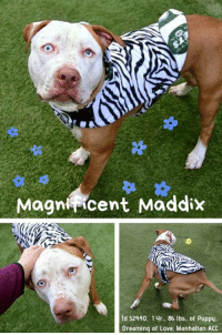 "Andrew Bogut, Cats, and Children: Magniicent Maddix  ld 52440. 14r., 86 lbs, of Puppy  Dreaming of Love. Manhattan ACC INTAKE DATE – 1/12/2019  <3 MAGNIFICENT MADDIX!  MADDIX is only 1 year old, if that!  But this magnificent boy with his startling baby blues is 86 lbs of puppy.  Super sweet, wiggly, and playful, he is happy to chase a tennis ball, or sidle up to you for a cuddle and a pet.  He doesn't mind being dressed up either, and how can you not love a boy who rocks his ""animal print"" winter coat?   It's hard to show in photos just how stunning this baby boy is, but he is waiting, and dreaming, of a family to love him so his life can be spared.  If you can foster or adopt Maddix, hurry and PM our page or email us at MustLoveDogsNYC@gmail.com for assistance!  This little man (or should we say BIG baby) should be just starting out his life, let's get him on his way!       MADDIX ID # 52440, @ 1 Yr. Old, 86 lbs. Manhattan ACC, Large Mixed Breed, Brown / White, Unaltered Male Owner Surrender Reason:     Shelter Assessment Rating:     Medical Behavior Rating     *** TO FOSTER OR ADOPT ***      If you would like to adopt a NYC ACC dog, and can get to the shelter in person to complete the adoption process, you can contact the shelter directly. We have provided the Brooklyn, Staten Island and Manhattan information below. Adoption hours at these facilities is Noon – 8:00 p.m. (6:30 on weekends)  If you CANNOT get to the shelter in person and you want to FOSTER OR ADOPT a NYC ACC Dog, you can PRIVATE MESSAGE our Must Love Dogs page for assistance. PLEASE NOTE: You MUST live in NY, NJ, PA, CT, RI, DE, MD, MA, NH, VT, ME or Northern VA. You will need to fill out applications with a New Hope Rescue Partner to foster or adopt a NYC ACC dog. Transport is available if you live within the prescribed range of states.  Shelter contact information: Phone number (212) 788-4000 Email adopt@nycacc.org  Shelter Addresses: Brooklyn Shelter: 2336 Linden Boulevard Brooklyn, NY 11208 Manhattan Shelter: 326 East 110 St. New York, NY 10029 Staten Island Shelter: 3139 Veterans Road West Staten Island, NY 10309  *** NEW NYC ACC RATING SYSTEM ***  Level 1 Dogs with Level 1 determinations are suitable for the majority of homes. These dogs are not displaying concerning behaviors in shelter, and the owner surrender profile (where available) is positive. Some dogs with Level 1 determinations may still have potential challenges, but these are challenges that the behavior team believe can be handled by the majority of adopters. The potential challenges could include no young children, prefers to be the only dog, no dog parks, no cats, kennel presence, basic manners, low level fear and mild anxiety.   Level 2  Dogs with Level 2 determinations will be suitable for adopters with some previous dog experience. They will have displayed behavior in the shelter (or have owner reported behavior) that requires some training, or is simply not suitable for an adopter with minimal experience. Dogs with a Level 2 determination may have multiple potential challenges and these may be presenting at differing levels of intensity, so careful consideration of the behavior notes will be required for counselling. Potential challenges at Level 2 include no young children, single pet home, resource guarding, on-leash reactivity, mouthiness, fear with potential for escalation, impulse control/arousal, anxiety and separation anxiety.   Level 3 Dogs with Level 3 determinations will need to go to homes with experienced adopters, and the ACC strongly suggest that the adopter have prior experience with the challenges described and/or an understanding of the challenge and how to manage it safely in a home environment. In many cases, a trainer will be needed to manage and work on the behaviors safely in a home environment. It is likely that every dog with a Level 3 determination will have a behavior modification or training plan available to them from the behavior department that will go home with the adopters and be made available to the New Hope Partners for their fosters and adopters. Some of the challenges seen at Level 3 are also seen at Level 1 and Level 2, but when seen alongside a Level 3 determination can be assumed to be more severe. The potential challenges for Level 3 determinations include adult only home (no children under the age of 13), single pet home, resource guarding, on-leash reactivity with potential for redirection, mouthiness with pressure, potential escalation to threatening behavior, impulse control, arousal, anxiety, separation anxiety, bite history (human), bite history (dog) and bite history (other).  New Hope Rescue Only  Dog is not publicly adoptable.  Prospective fosters or adopters need to fill out applications with New Hope Partner Rescues to save this dog."