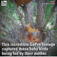 Memes, News, and GoPro: Maine  FOX  NEWS  Storyful/NFG Films  This incredible GoPro footage  captured these baby birds  being fed by their mother. Video captured a mother feeding her babies.