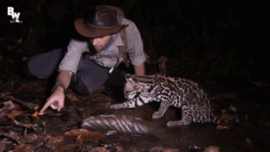 mainelysyd:From Brave Wilderness on YouTube! Coyote went to Costa Rica and came across this curious ocelot!: mainelysyd:From Brave Wilderness on YouTube! Coyote went to Costa Rica and came across this curious ocelot!