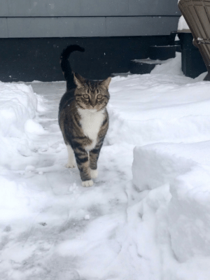 Majestic snow cat.: Majestic snow cat.