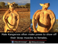 Memes, 🤖, and Make: Male Kangaroos often make poses to show off  their bicep muscles to females.  didyouknowpagel didyouknowpage