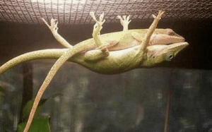 Male lizard holding up his gf so she can take a nap (via): Male lizard holding up his gf so she can take a nap (via)
