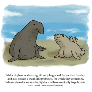 Elephant, Tapas, and Seals: Males elephant seals are significantly larger and darker than females,  and also possess a trunk-like proboscis, for which they are named.  Whereas females are smaller, lighter, and have comically large breasts  @2019 Z Gosck | tapas.io/series/fantastically A Fantastically False Fact About Elephant Seals [OC]